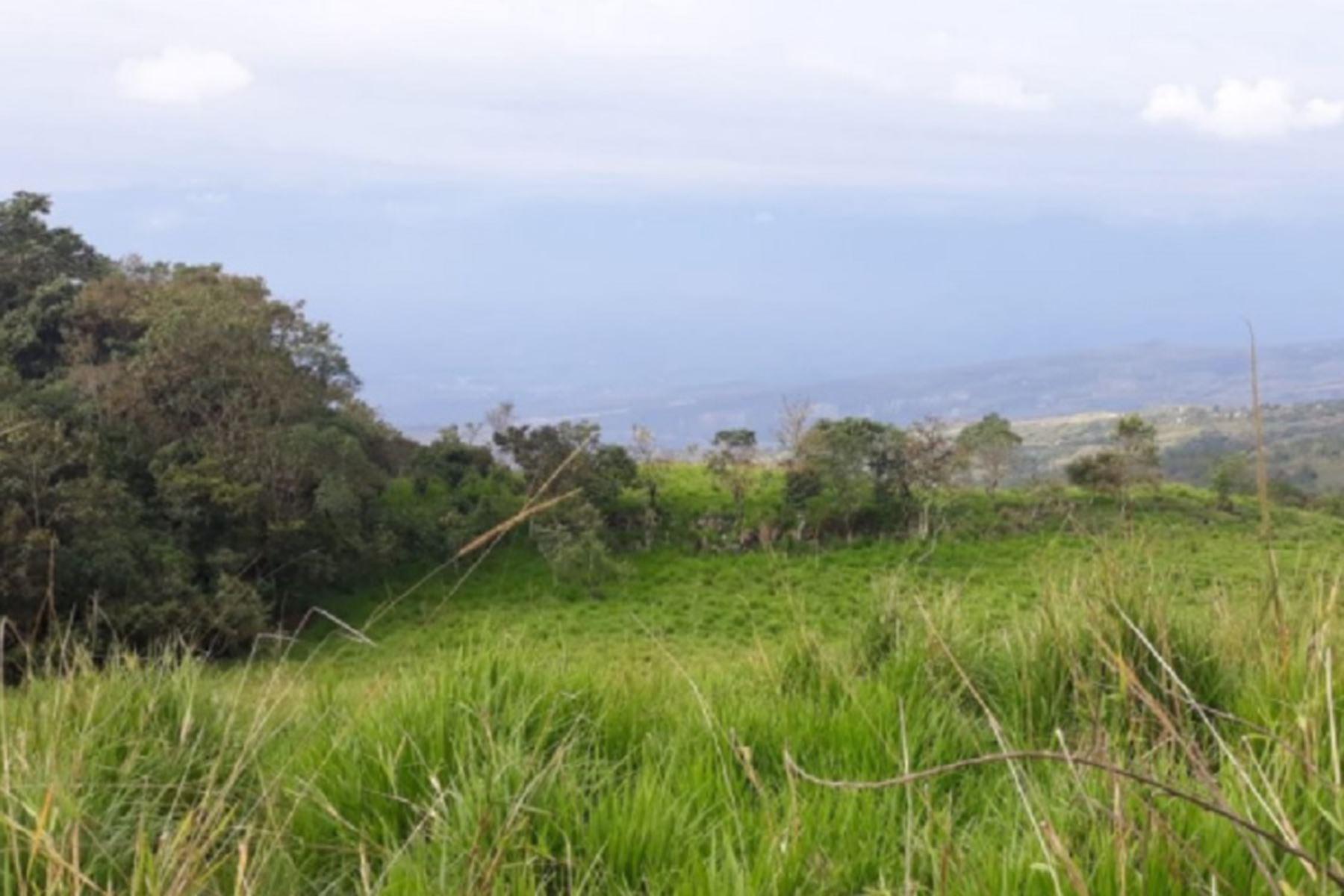 San Martín: reactivan ganadería con plantación de pastos cultivados en más de 3,000 has | Noticias