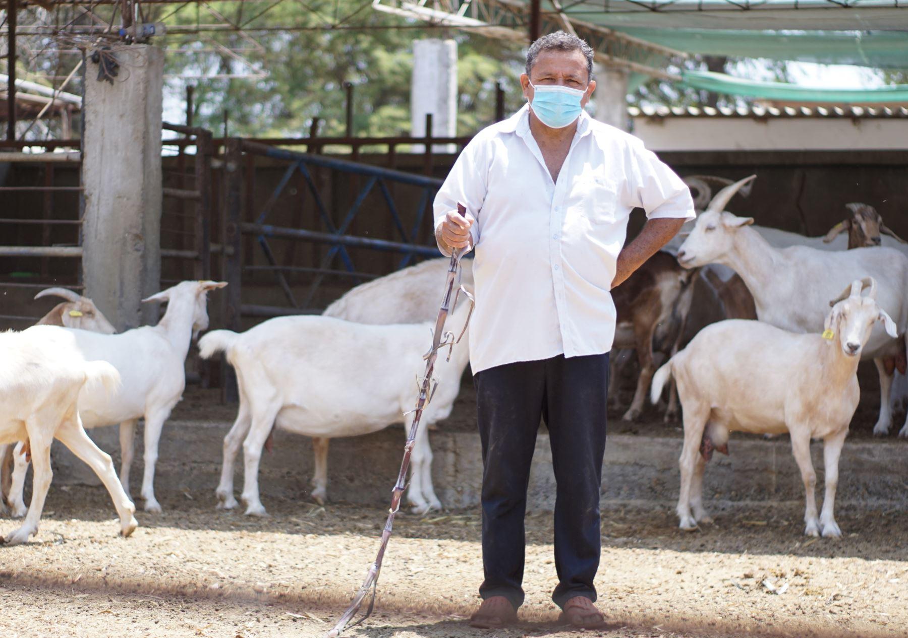 Conoce la historia de Wilfredo Vidal, el rey del ganado caprino de Piura   Noticias