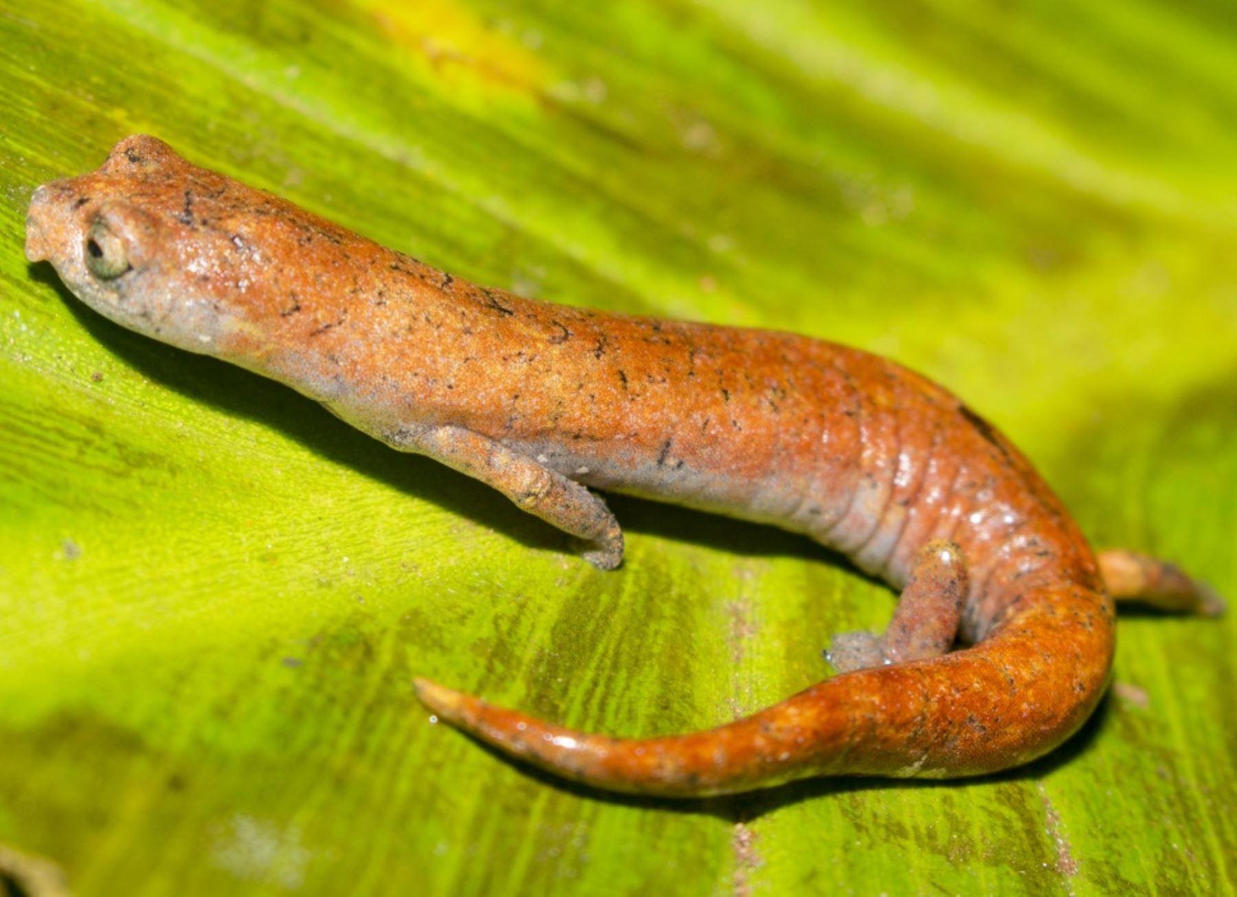 Investigadores de la Universidad Nacional Mayor de San Marcos hallan una nueva especie de salamandra endémica del Perú. ANDINA/Difusión