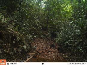 Serfor reportó el avistamiento de un ejemplar de yaguarundi en la selva de Puno. El yaguarundi es una especie de felino salvaje poco conocida. ANDINA/Difusión