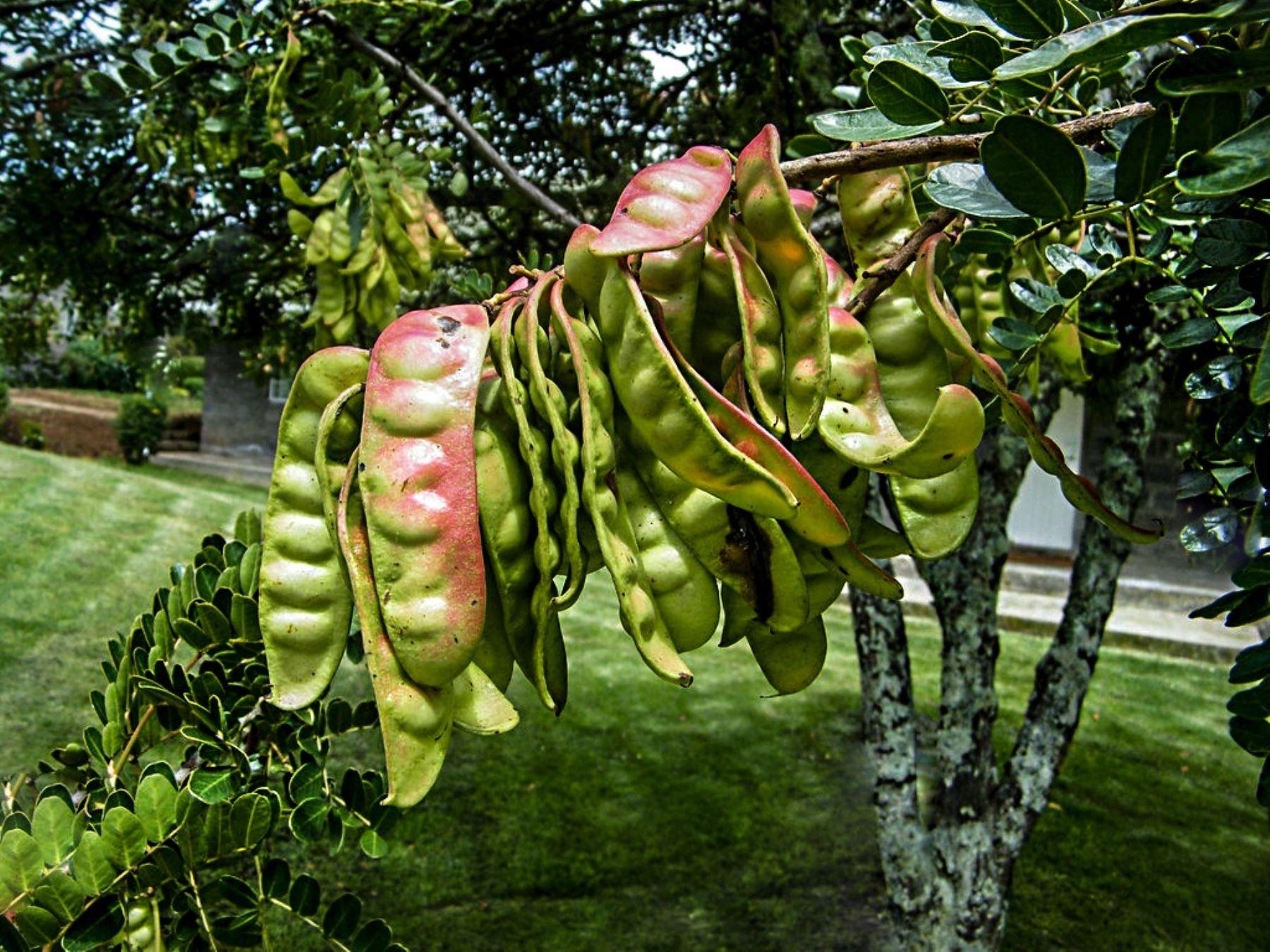 Investigadores de la Universidad Toribio Rodriguez de Mendoza elaboraron un novedoso producto a base de goma de semilla de tara que permite conservar por más tiempo frutas y hortalizas. ANDINA/Difusión