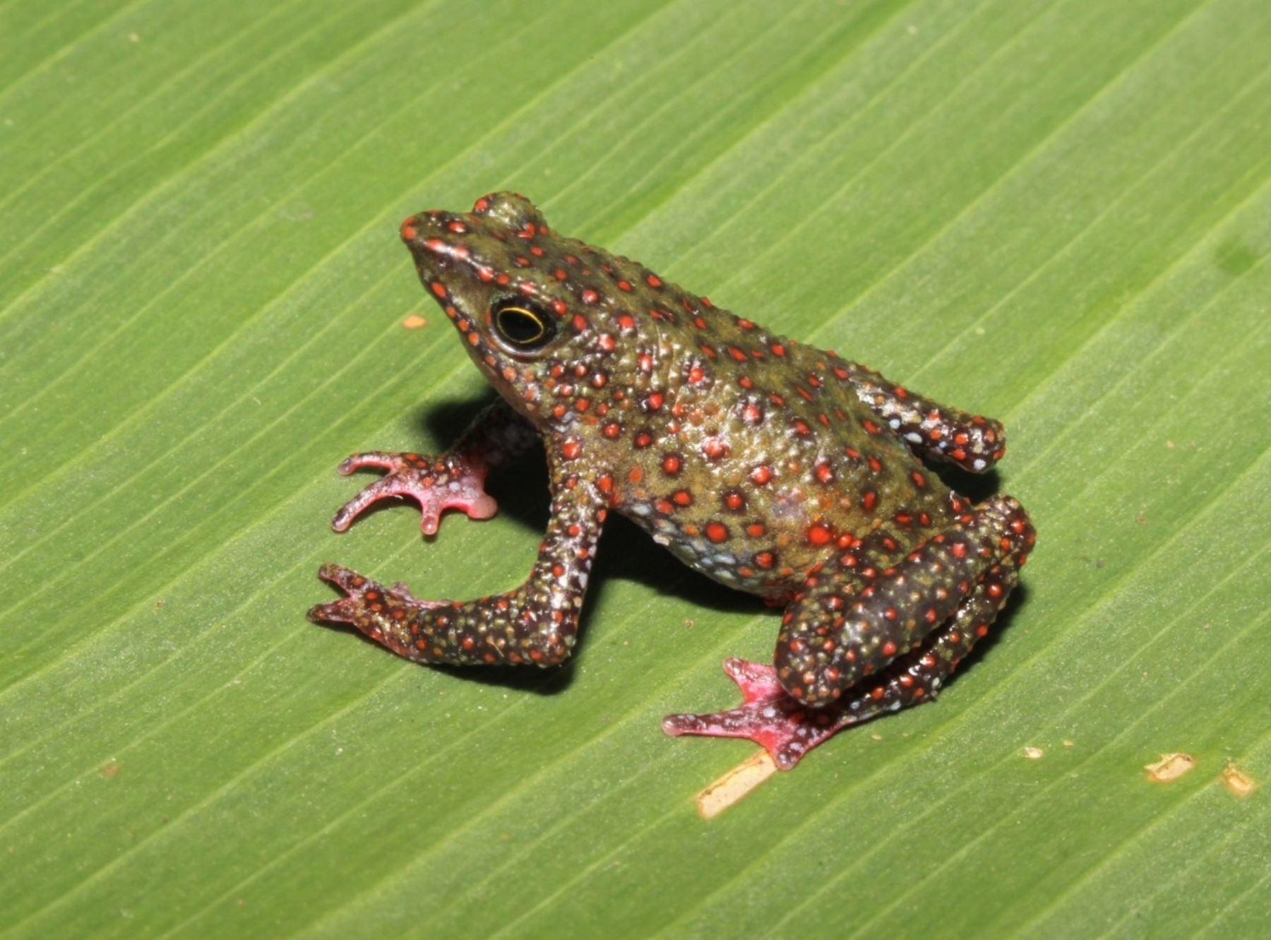 Científicos peruanos descubren una nueva especie de rana arlequín en los bosques nublados de Ayacucho, en la zona del Vraem. Foto: Vladimir Díaz