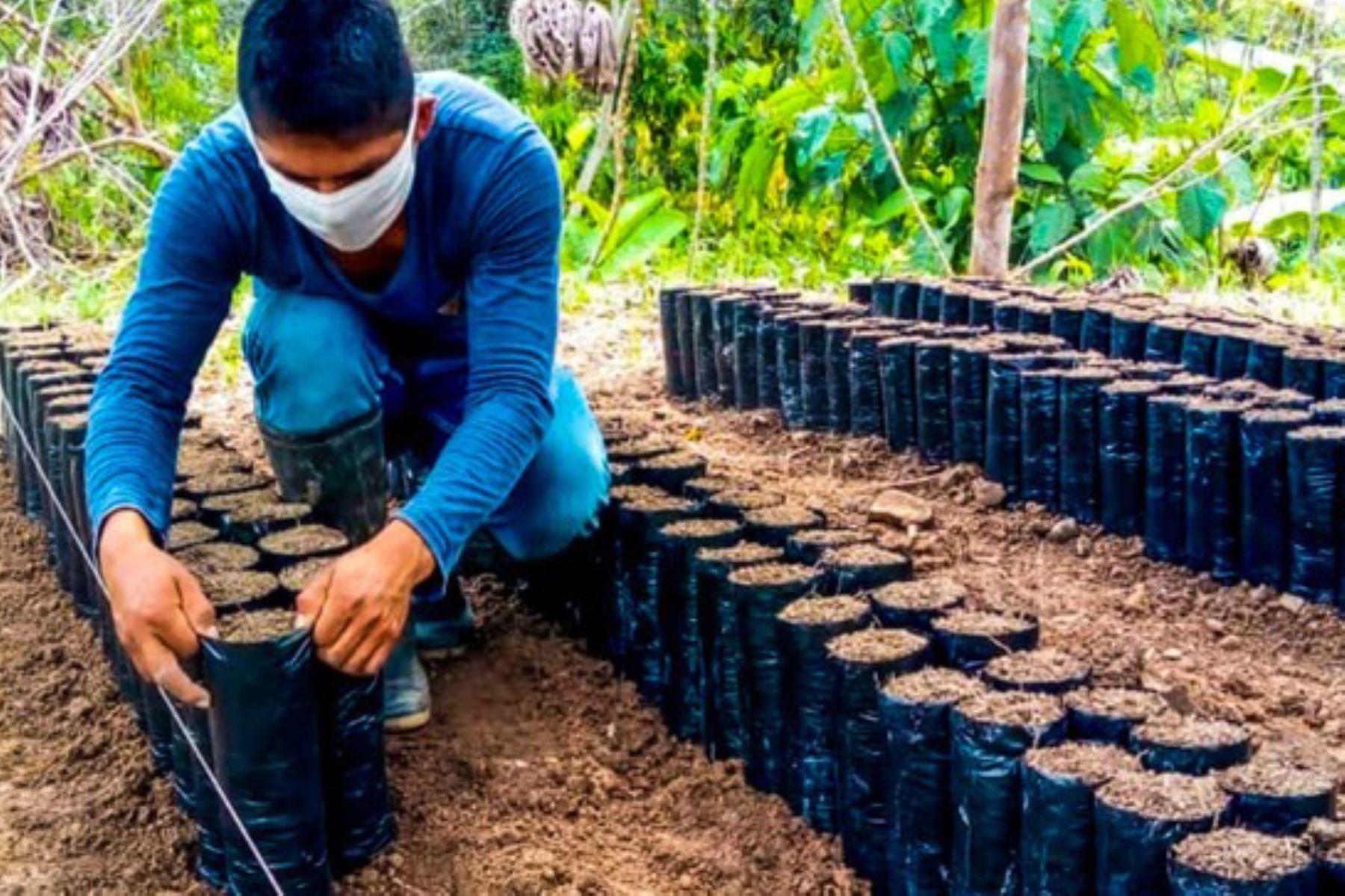La asistencia de Devida está dirigida a 90 familias cacaoteras de los distritos de Pueblo Nuevo, Luyando, Castillo Grande, Rupa Rupa y Monzón, cuyas parcelas se encuentran en etapa de instalación en 91 hectáreas de cultivo. Foto: ANDINA/Difusión