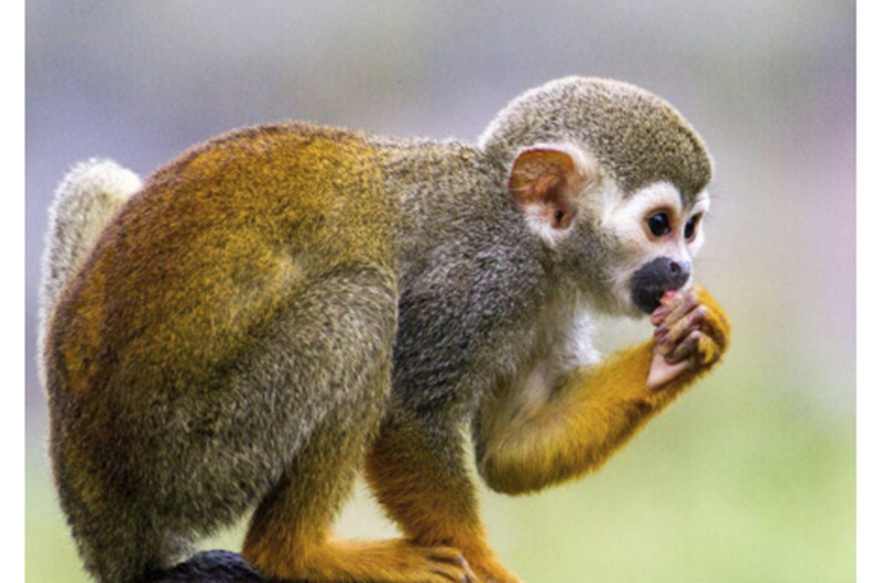 Científicos de San Marcos investigan la presencia del SARS-CoV-2 en monos y hurones