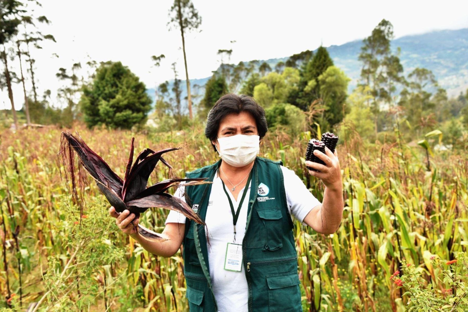 El Gobierno de Chile distinguirá a la investigadora cajamarquina Alicia Medina Hoyos por estudiar, durante 13 años, el maíz morado y desarrollar una nueva variedad genética. Foto: ANDINA/Difusión