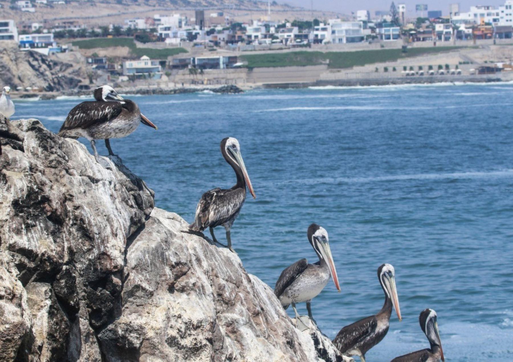 El Serfor reconoció a La Isla, ubicada en Punta Hermosa al sur de Lima, como el primer ecosistema frágil de punta rocosa en el Perú, que destaca por su alta diversidad de fauna. Foto: Serfor/Piero Marotta