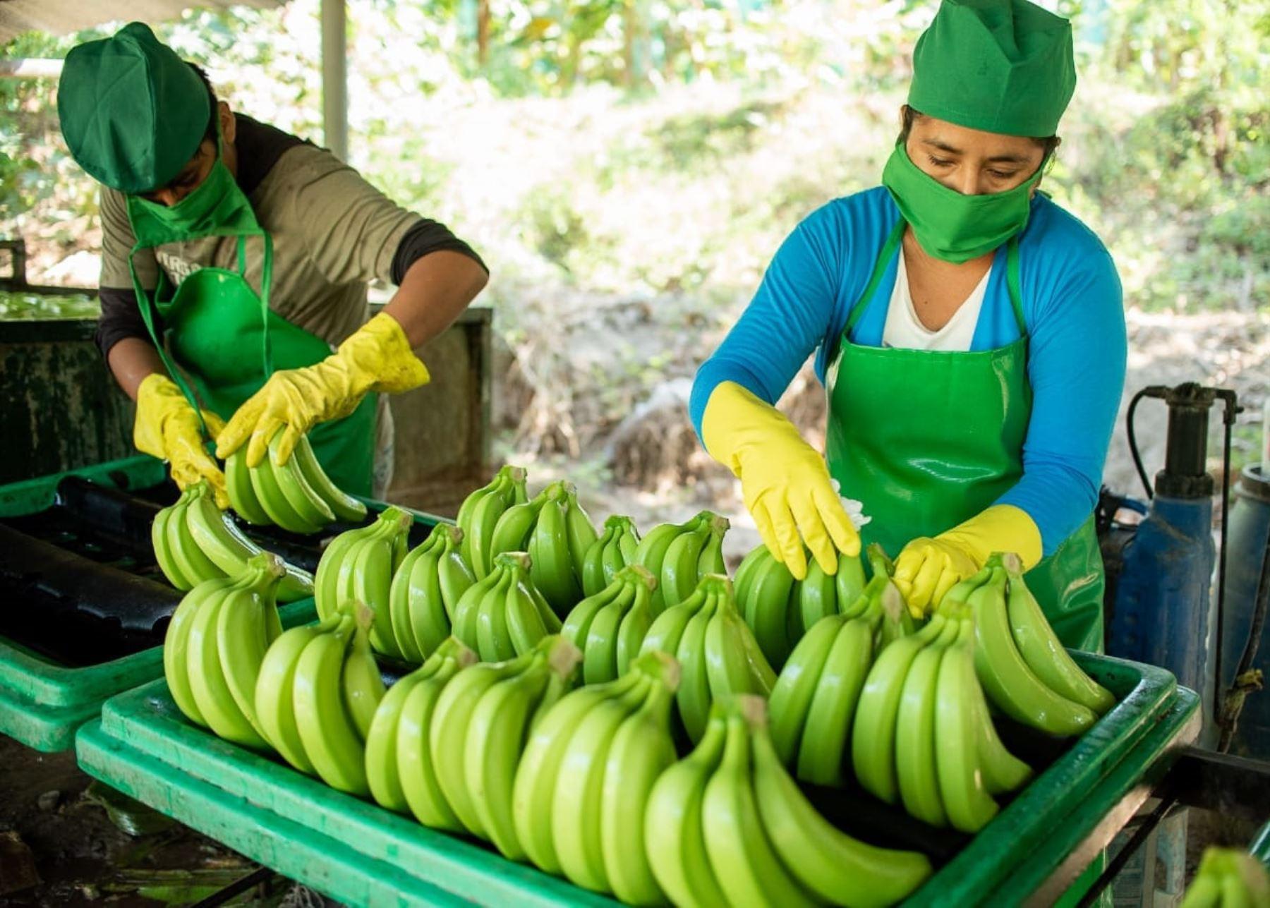 El cultivo de banano orgánico se ha convertido en el principal impulsor de la economía de los agricultores de la provincia de Sullana, en Piura.