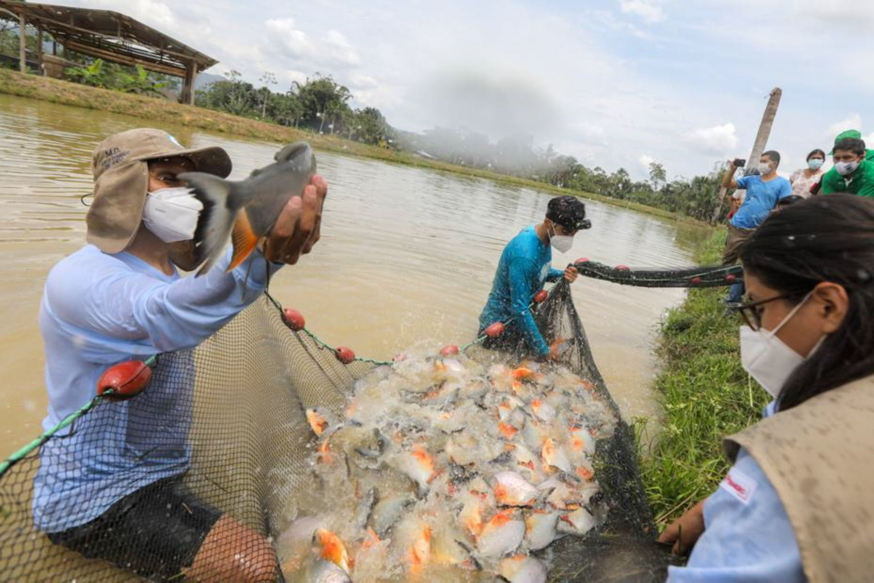 Las actividades acuícolas son financiadas por Devida, a través de los mencionados gobiernos locales, con casi 2 millones de soles. Se han implementado 70 módulos para producir 60 mil kilos de peces amazónicos por campaña. Foto: Devida