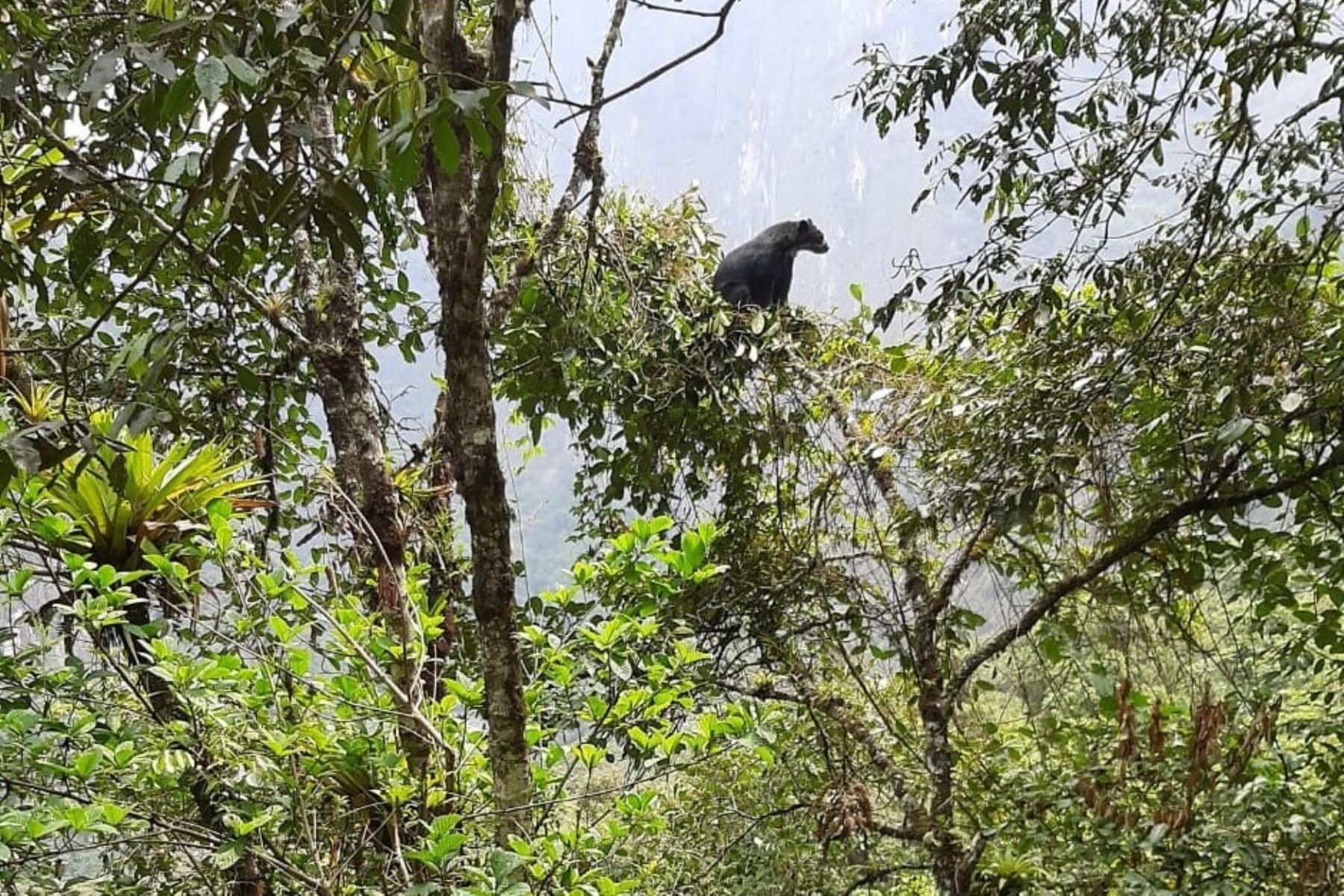 Spectacled bear seen near Machu Picchu.