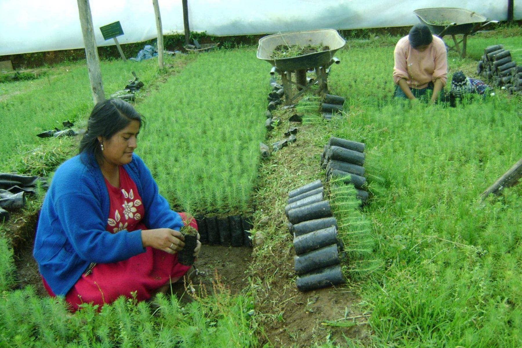 Agro Rural señaló que se tienen plantones en diferentes estadios de crecimiento en los viveros municipales de la región Junín. Foto: ANDINA/Difusión