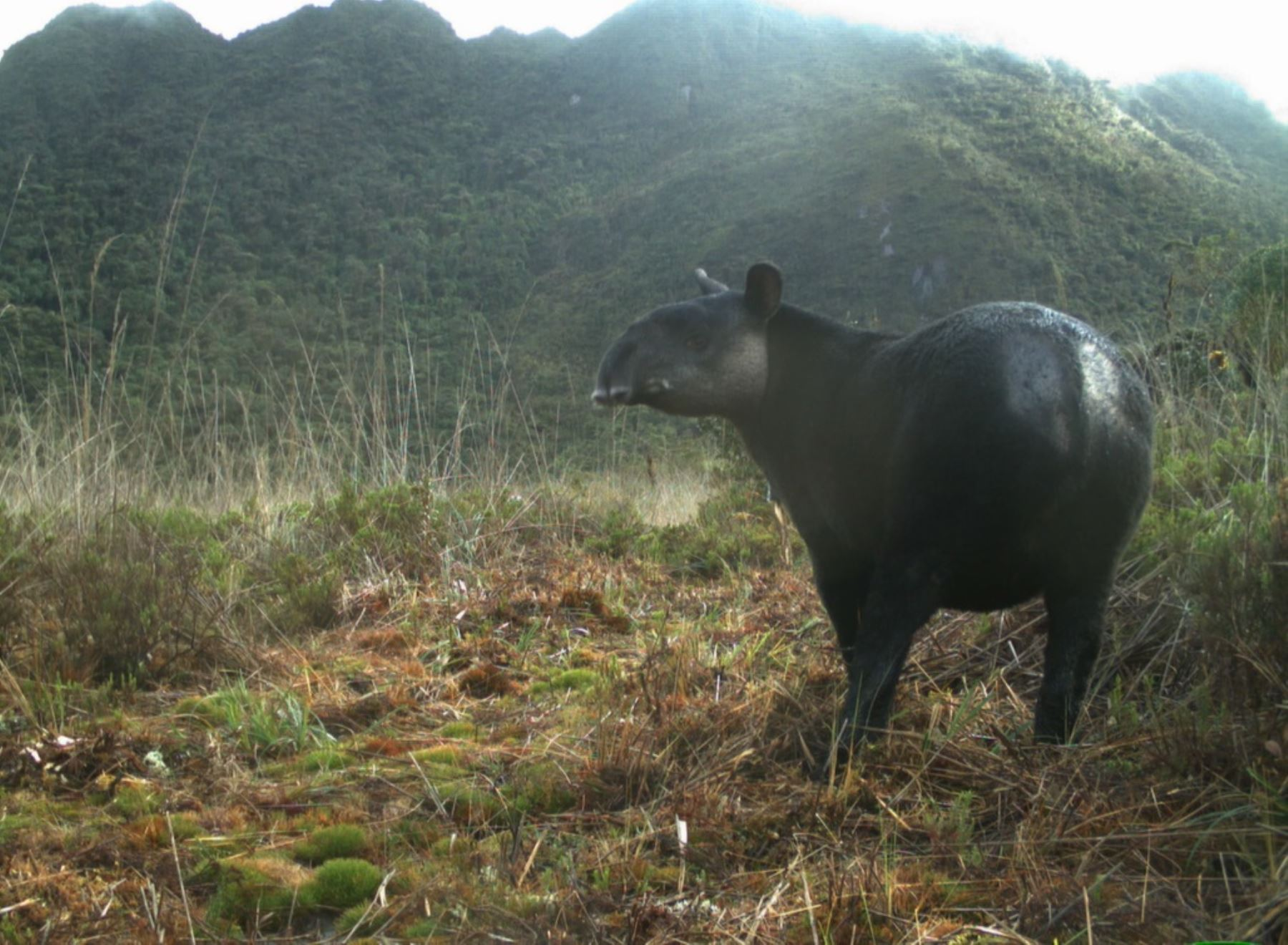 Andean tapir in Pacaipampa Conservation Area. Photo: SBC Peru