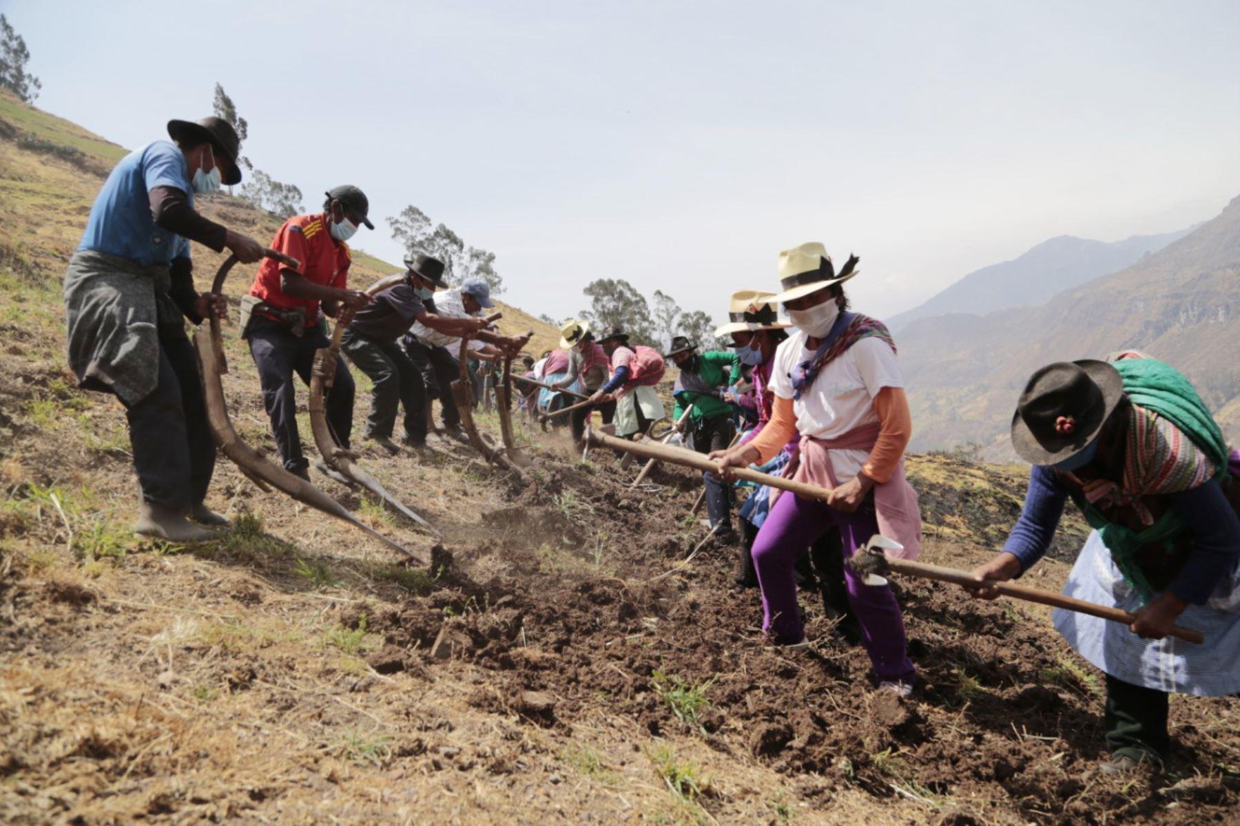 Un total de 1260 familias rurales, dedicadas a las diferentes actividades ganaderas, pertenecientes a 07 provincias se favorecerán gracias a la Campaña de Siembra de Pastos y Forrajes en Lima Provincias. Foto: Minagri