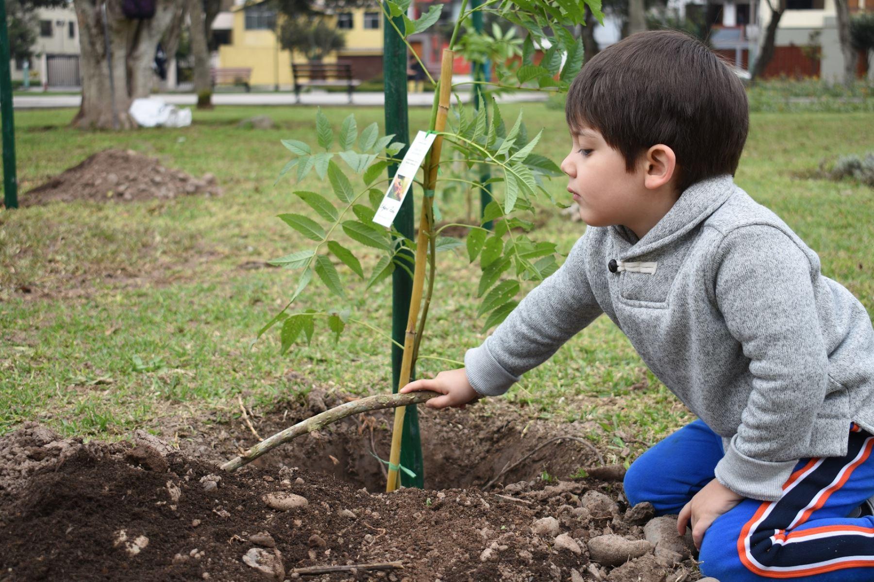 Los interesados deben completar una solicitud, contar con espacios en jardines exteriores y comprometerse al cuidado del árbol recibido. Foto: ANDINA/Municipalidad de San Borja