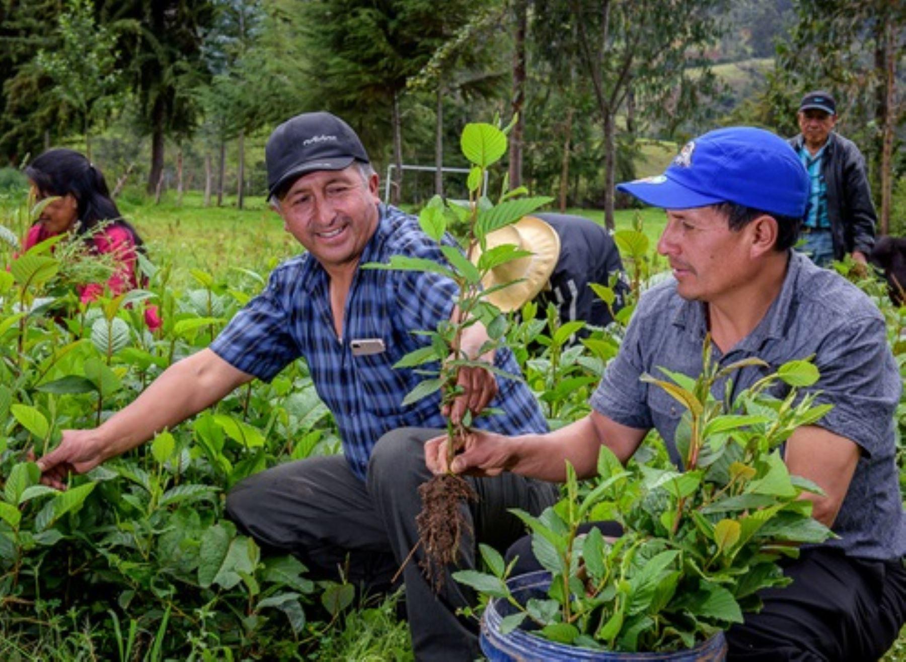 Conoce cómo la minka, una práctica ancestral inca, ayuda a conservar los bosques en Cajamarca. ANDINA/Difusión