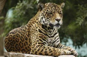 Para asegurar la preservación y el hábitat del jaguar, cuyo rango de distribución en el continente americano se redujo casi el 50%, el Servicio Nacional Forestal y de Fauna Silvestre, del Ministerio de Desarrollo Agrario y Riego, en coordinación con el Ministerio del Ambiente y el Servicio Nacional de Áreas Protegidas por el Estado se unen para elaborar el Plan Nacional de Conservación del Jaguar. Foto: ANDINA/difusión.