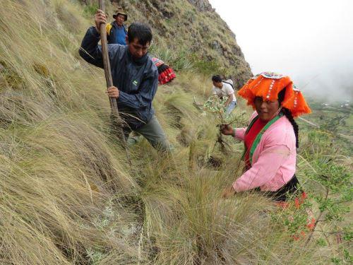 Con ritual tradicional comunidades campesinas de Cusco sembrarán más de 385,000 de queuña, una planta nativa de la zona.