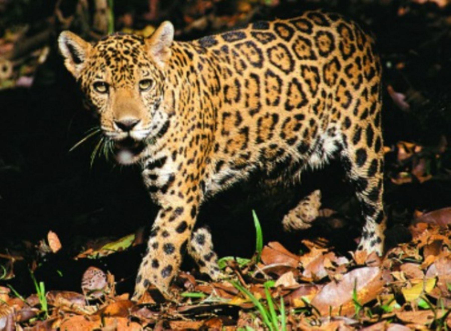 El jaguar será el primer tema del pódcast que lanzó el Serfor para promover la conservación de la fauna silvestre. ANDINA/Difusión