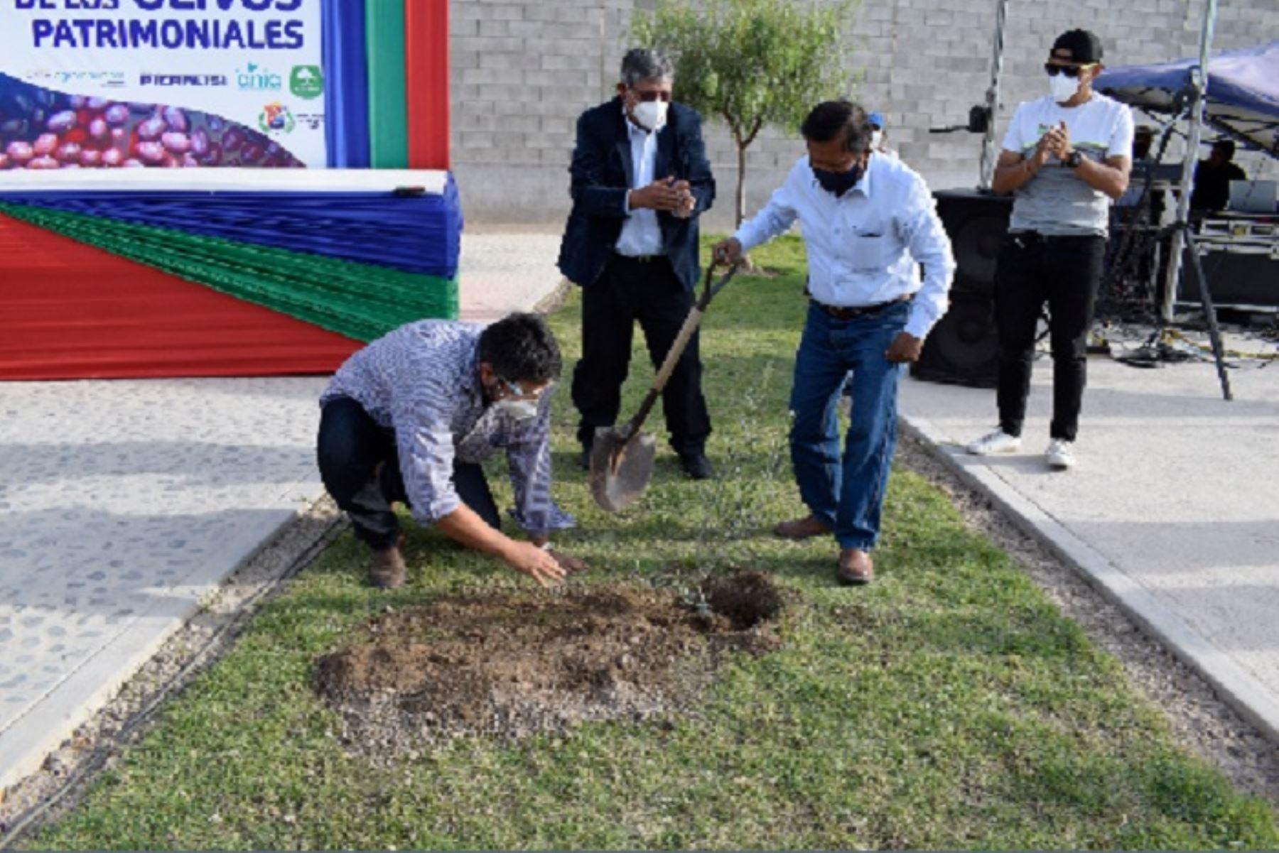 Con la participación en esta importante competencia se podrá revalorar los olivos ancestrales que se ubican en el valle de El Algarrobal en la provincia de Ilo.