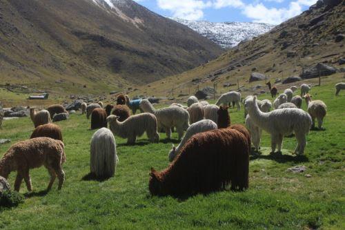 Agro Rural impulsa certificación de productores alpaqueros de zonas altoandinas