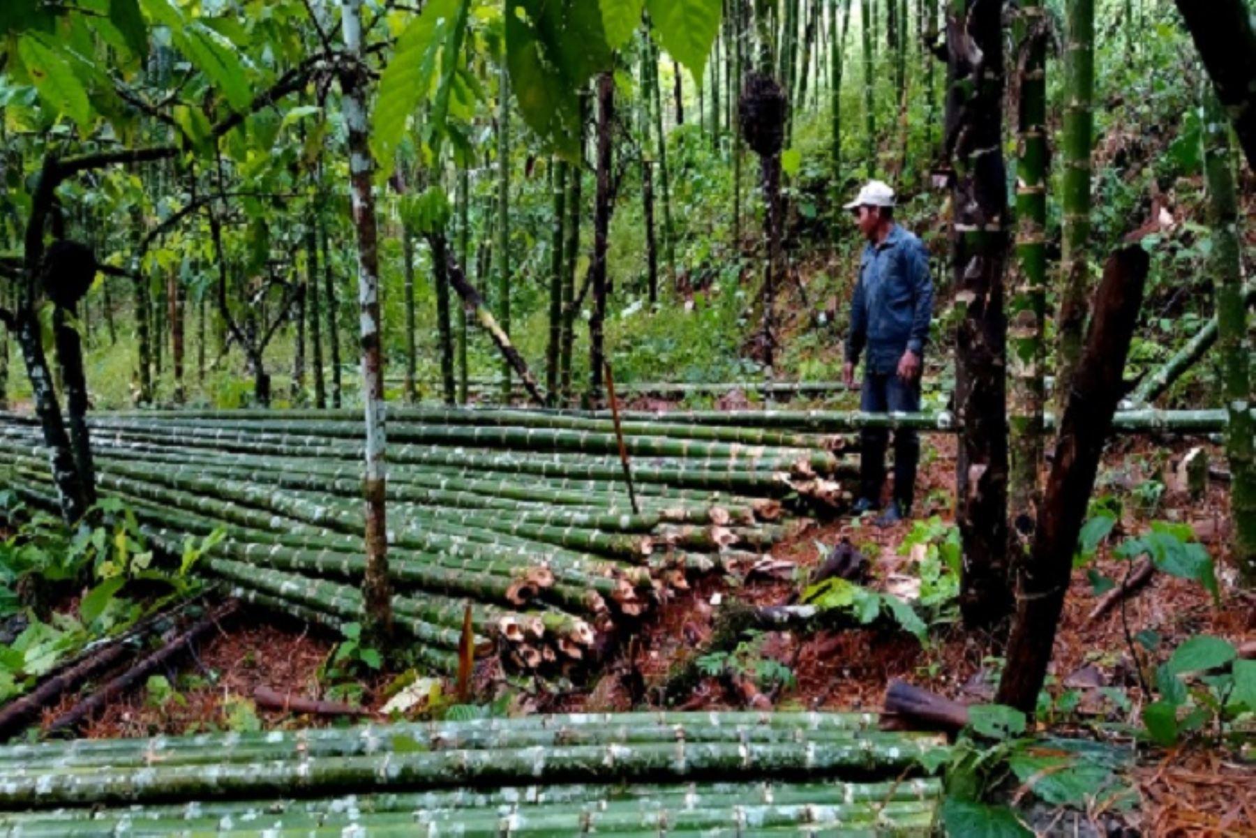 Cajamarca promoverá cultivo, uso y comercialización del bambú