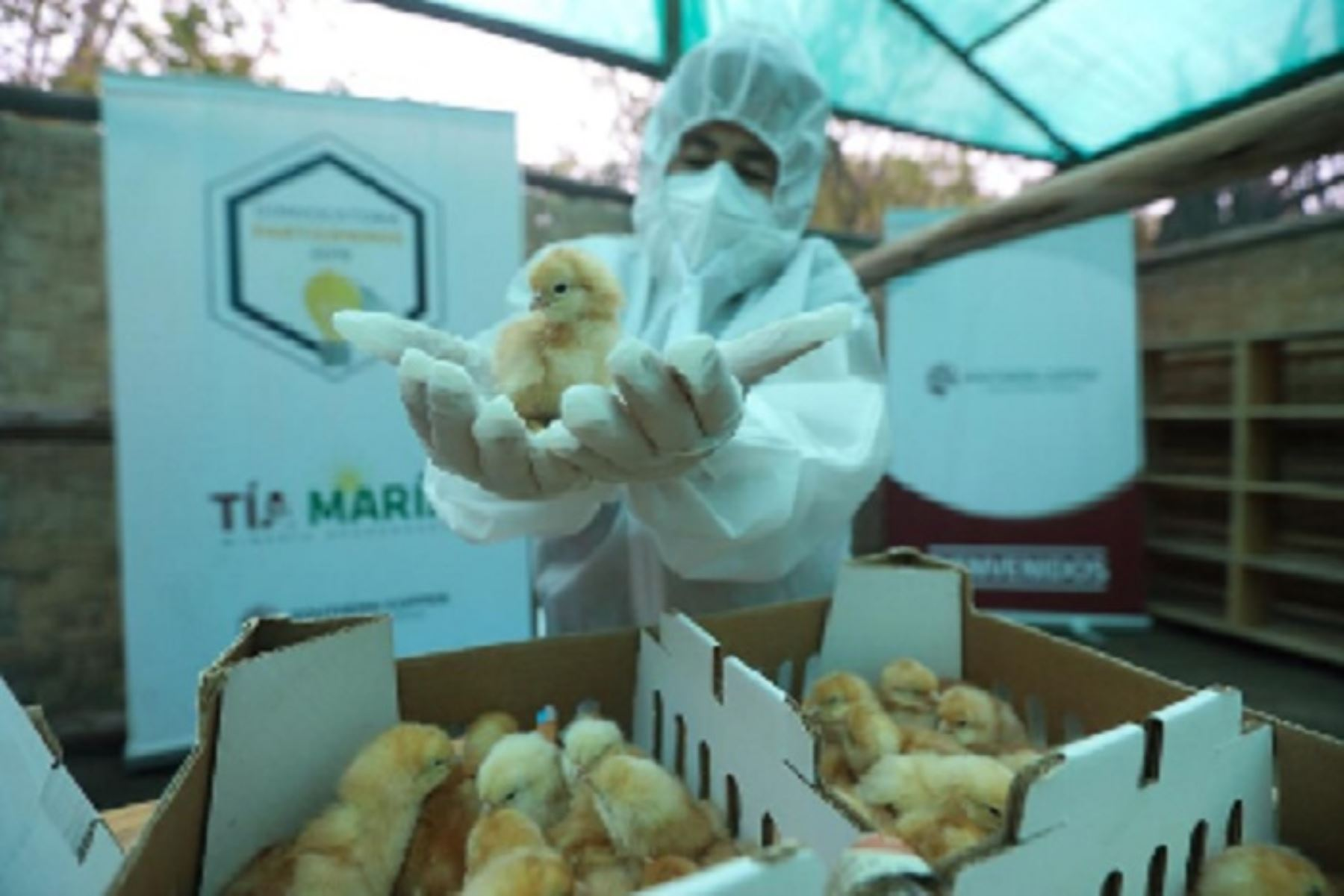 Arequipa: en el valle de Tambo apuestan por la industria avícola