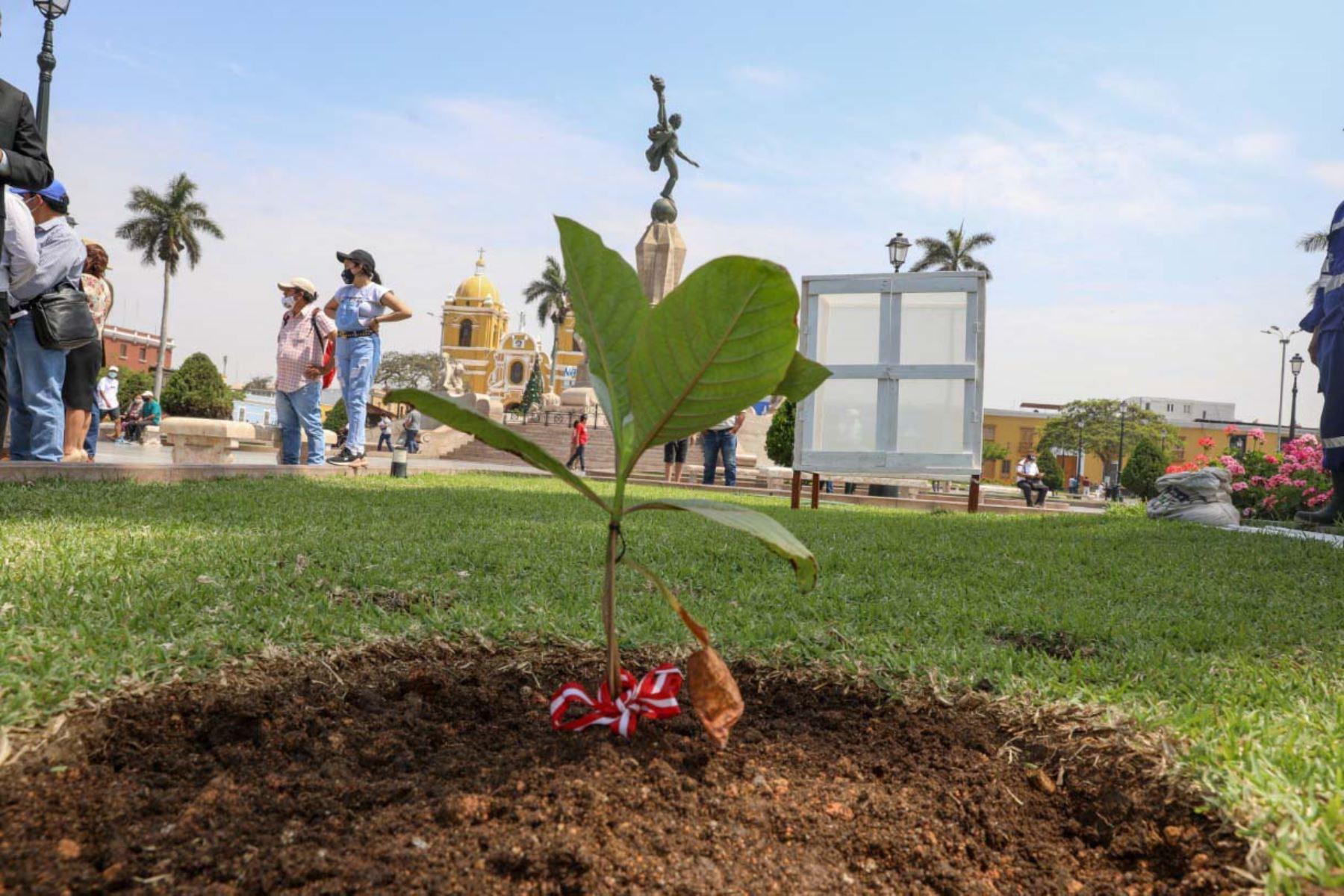 Siembran ejemplar del árbol de la quina en plaza de Armas de la ciudad de Trujillo, capital de la región La Libertad. Foto: Cortesía Luis Puell