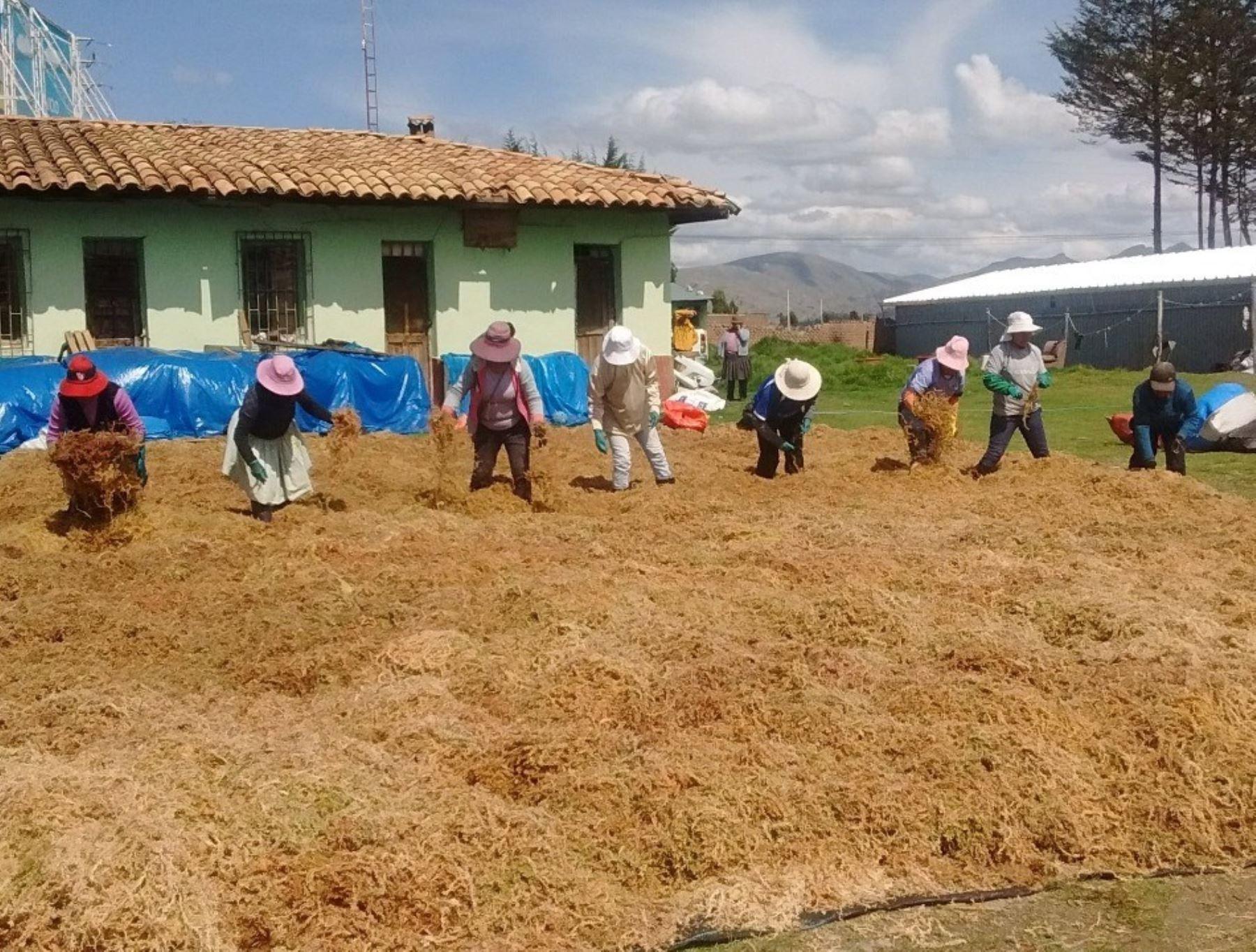 Serfor pide evitar la compra de musgo natural para adornar nacimientos y así no causar la depredación de bosques andinos.