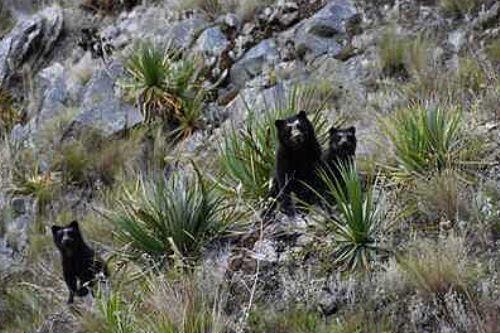 El oso de anteojos habita en más de 30 ANP como el santuario histórico de Machupicchu y el parque nacional del Manu. Foto: ANDINA/Difusión