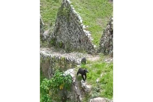 Trabajadores del parque arqueológico Machu Picchu captaron a una osa de anteojos y su cría paseando por la ciudadela inca. ANDINA/Difusión