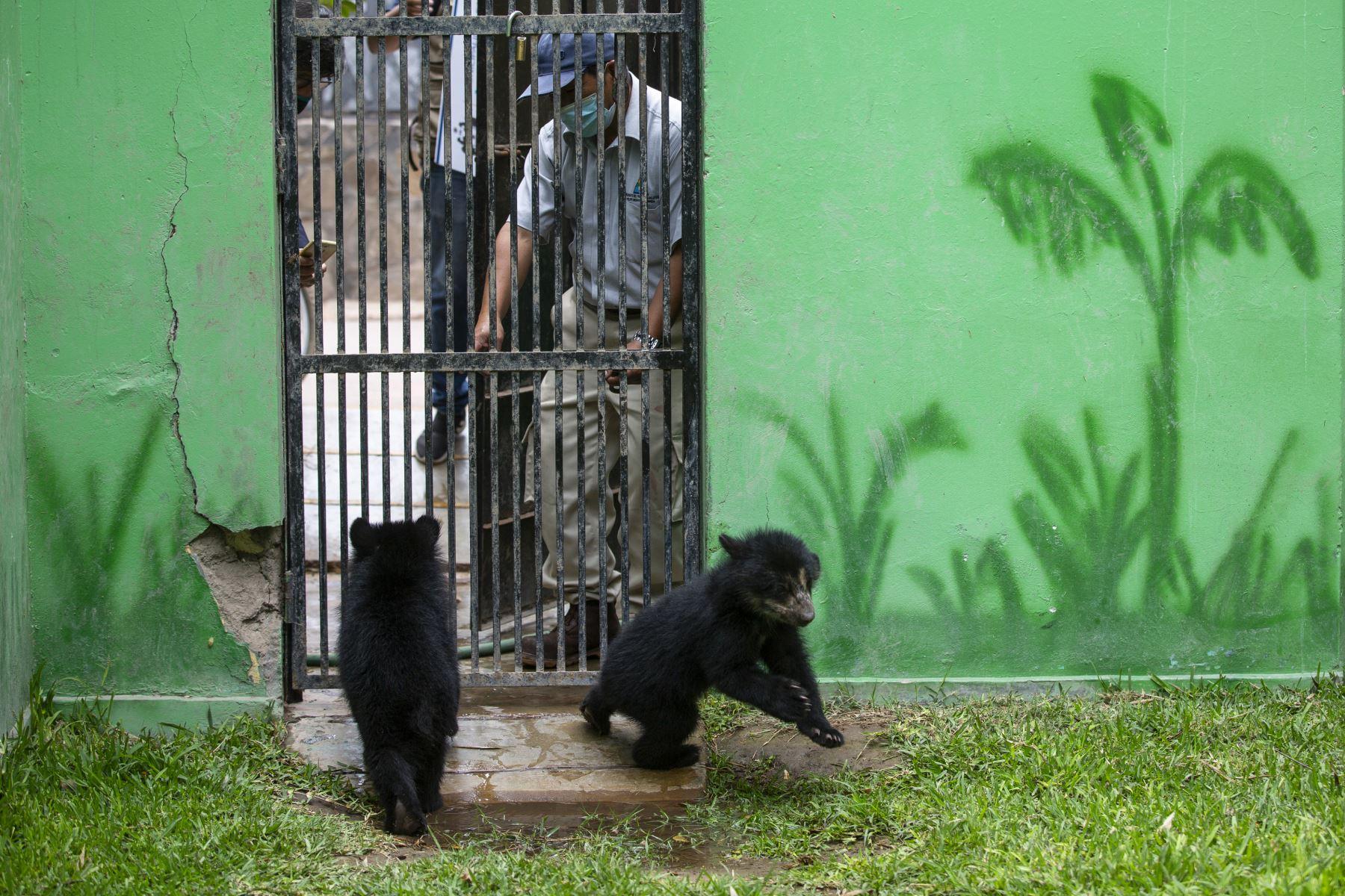 Los osos de anteojos rescatados en Puno, Maini y Ukuku, disfrutan de un espacio más amplio en la zona Selva del Parque de las Leyendas de Lima, donde trepan y juegan sin parar. Foto: Municipalidad de Lima