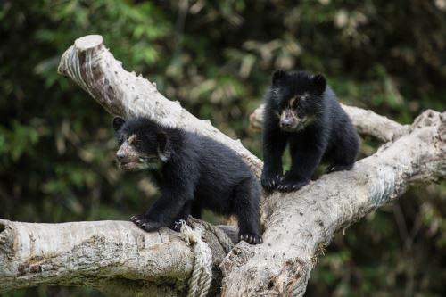 Los osos de anteojos rescatados en Puno disfrutan de un espacio amplio en el Parque de las Leyendas de Lima