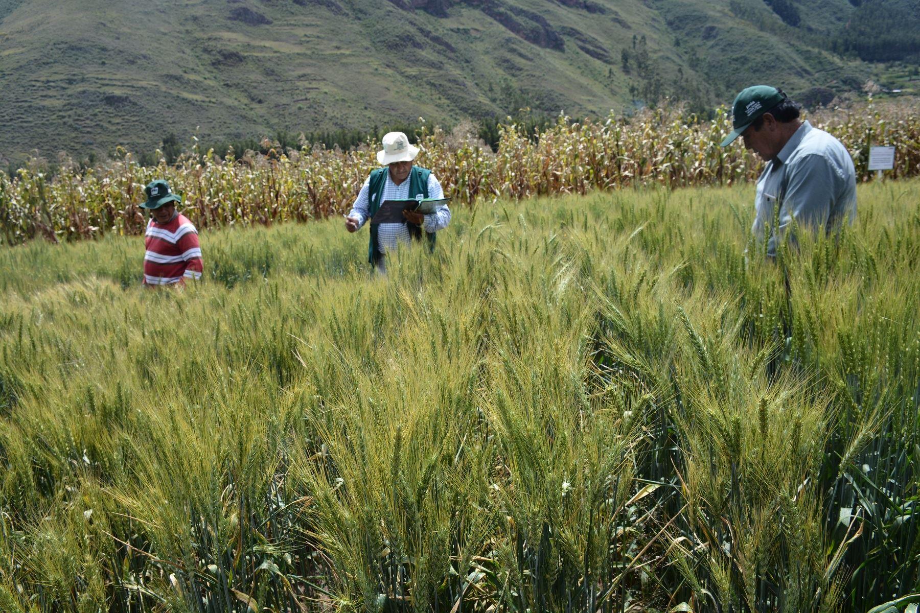Nueva variedad de trigo.