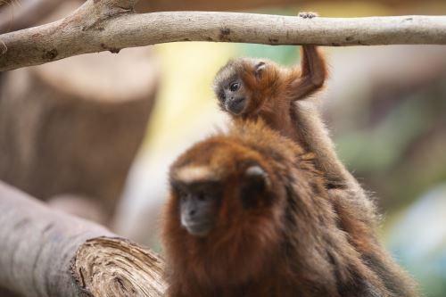 Conoce al nuevo mono tocón del Parque de las Leyendas