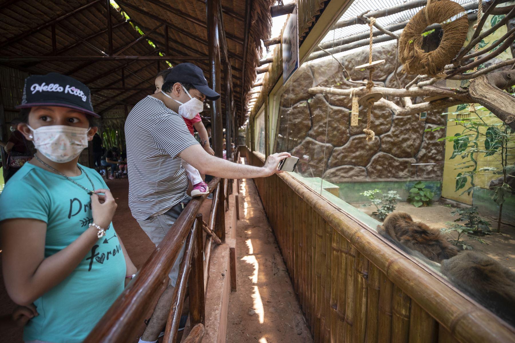 El Parque de las Leyendas presentó al nuevo ejemplar de mono tocón nacido recientemente. El público visitante pudo apreciar al primate. Foto: MML.
