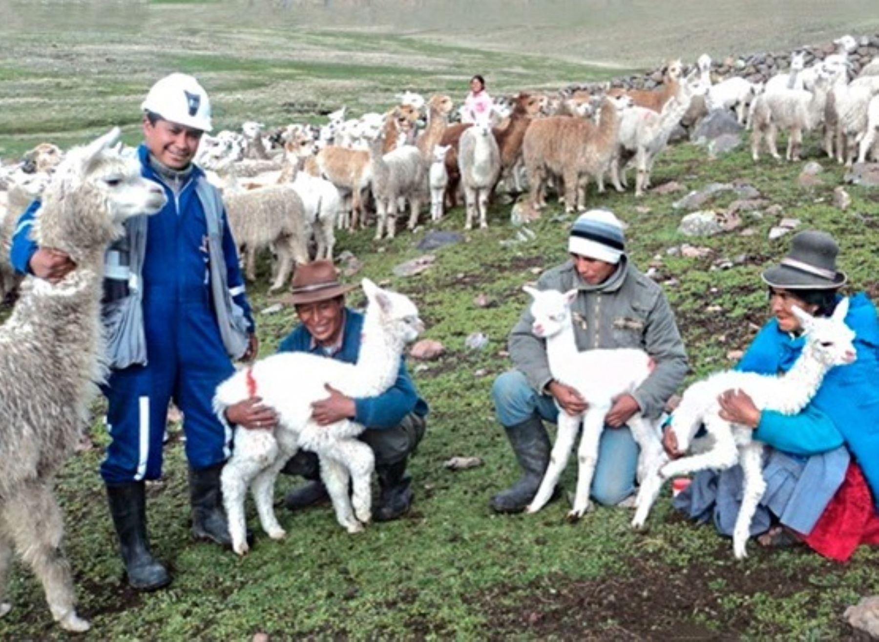 Científicos peruanos desarrollan investigación para mejorar producción de alpaca
