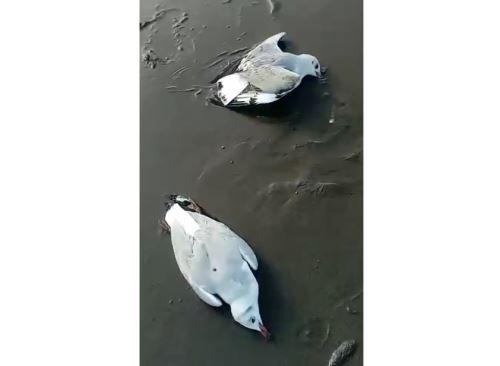 El Serfor reportó más de 70 gaviotas muertas en las playas de Huacho y Pisco.