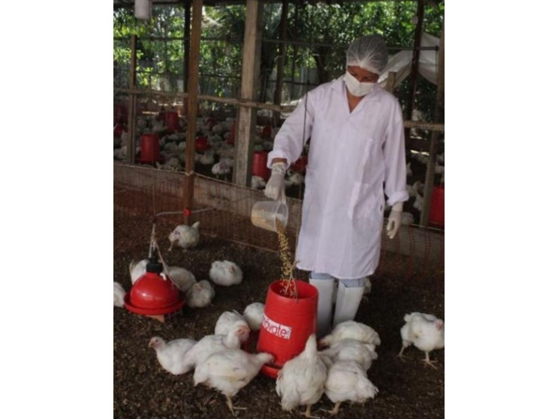 Emprendedores elaboran harina de pijuayo, una alternativa económica y de calidad para fabricar alimento para pollos de engorde en la región Loreto. ANDINA/Difusión