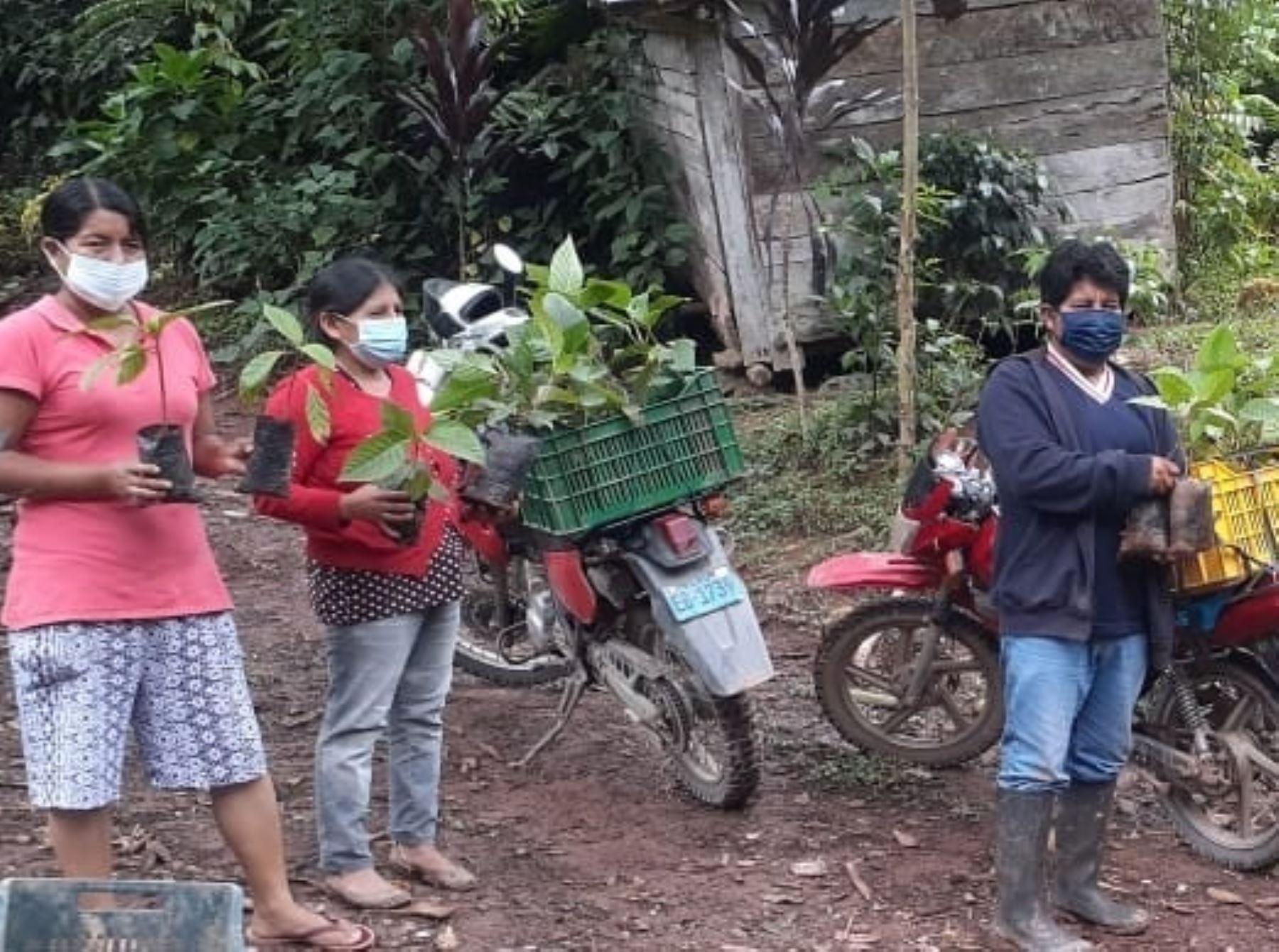 Pobladores de la comunidad campesina Barineti Real, ubicada en el distrito de Pichanaqui, en la selva de Junín, iniciaron siembra del emblemático árbol de la quina. ANDINA/Difusión