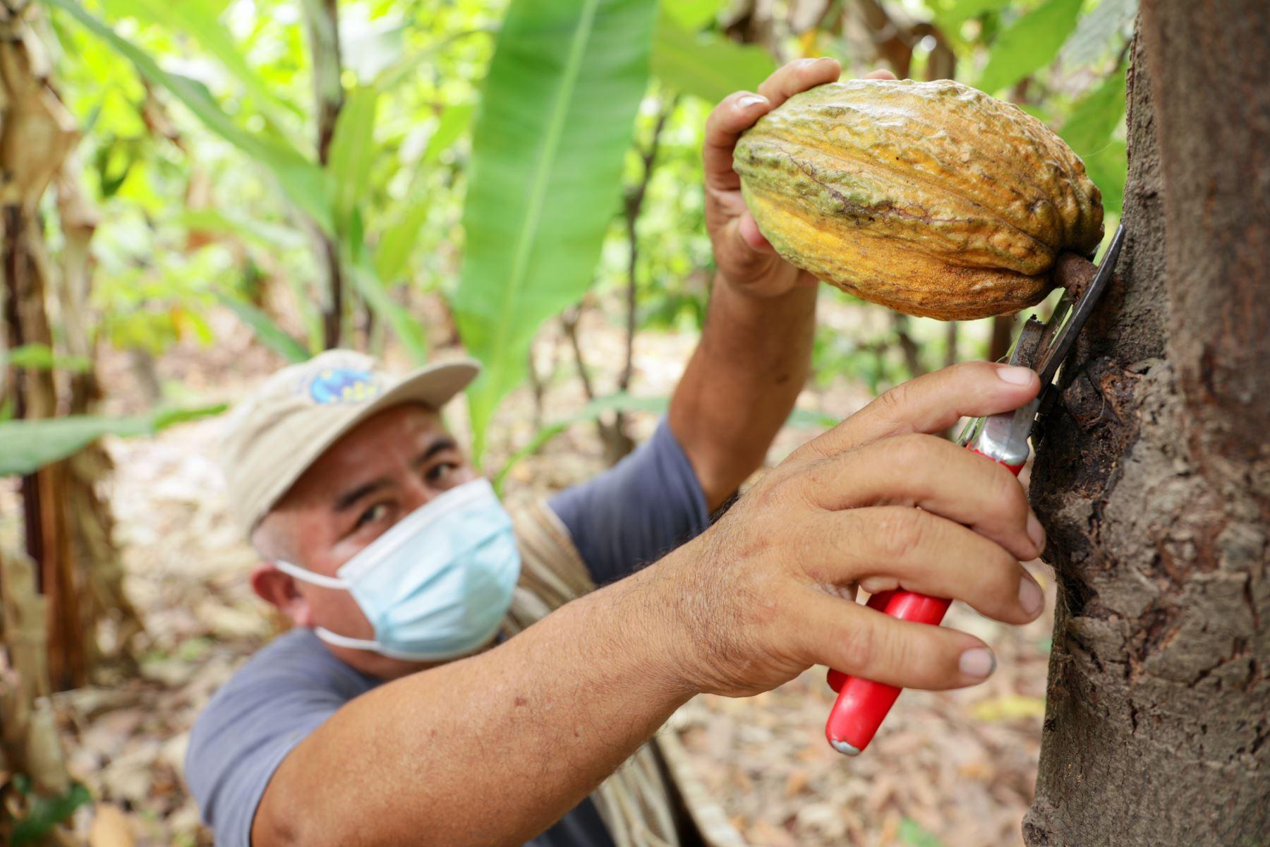 Cosecha de cacao en el norte del Perú. ANDINA/Difusión