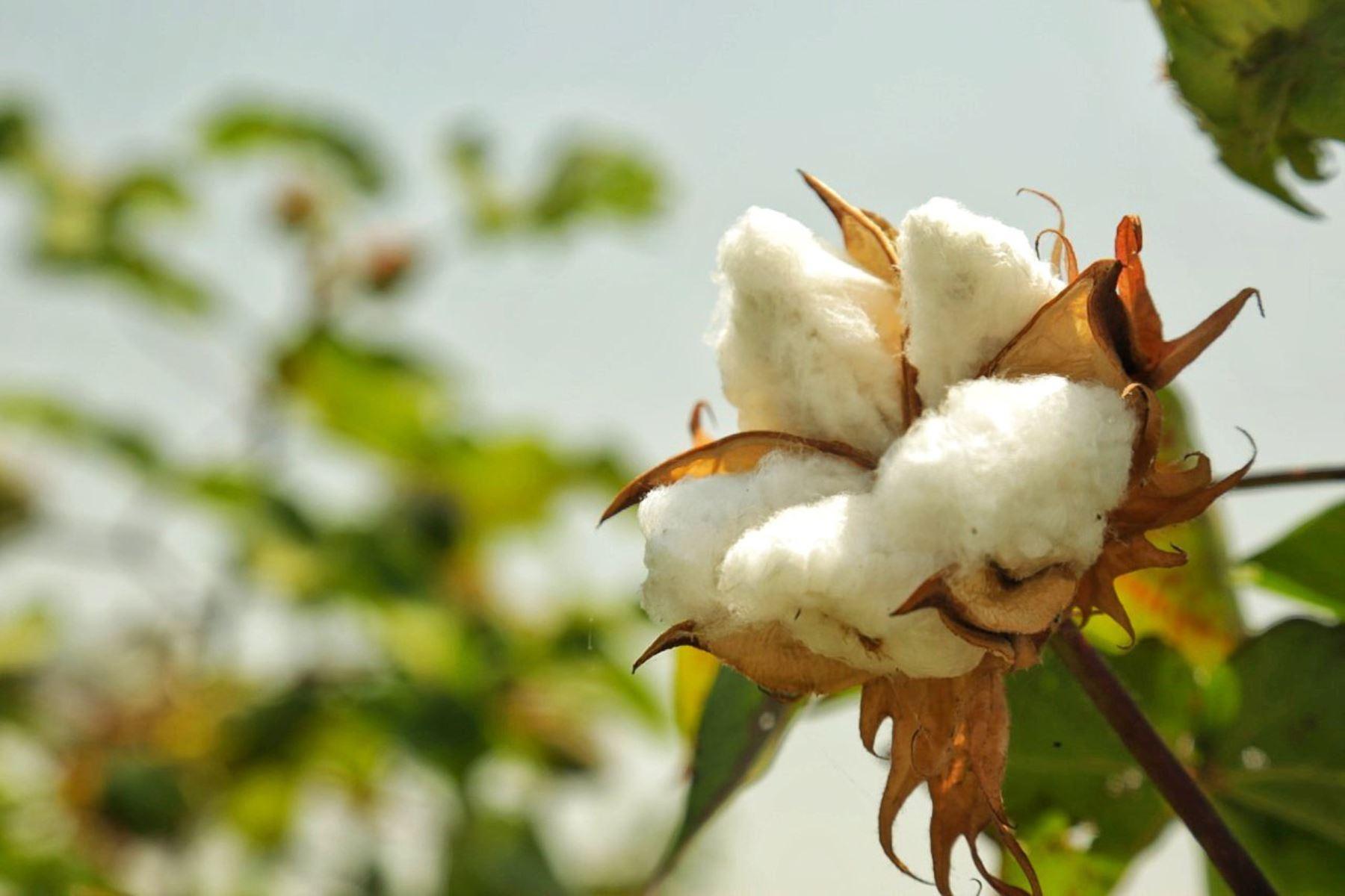 La segunda exportación de algodón pima peruano por cerca de 21 toneladas fue al mercado de Tailandia.