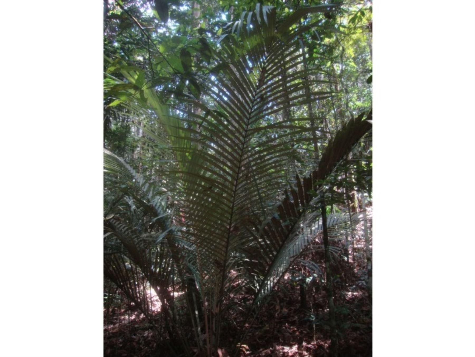 hallazgo-cientifico-descubren-nueva-especie-de-palmera-en-parque-nacional-cordillera-azul