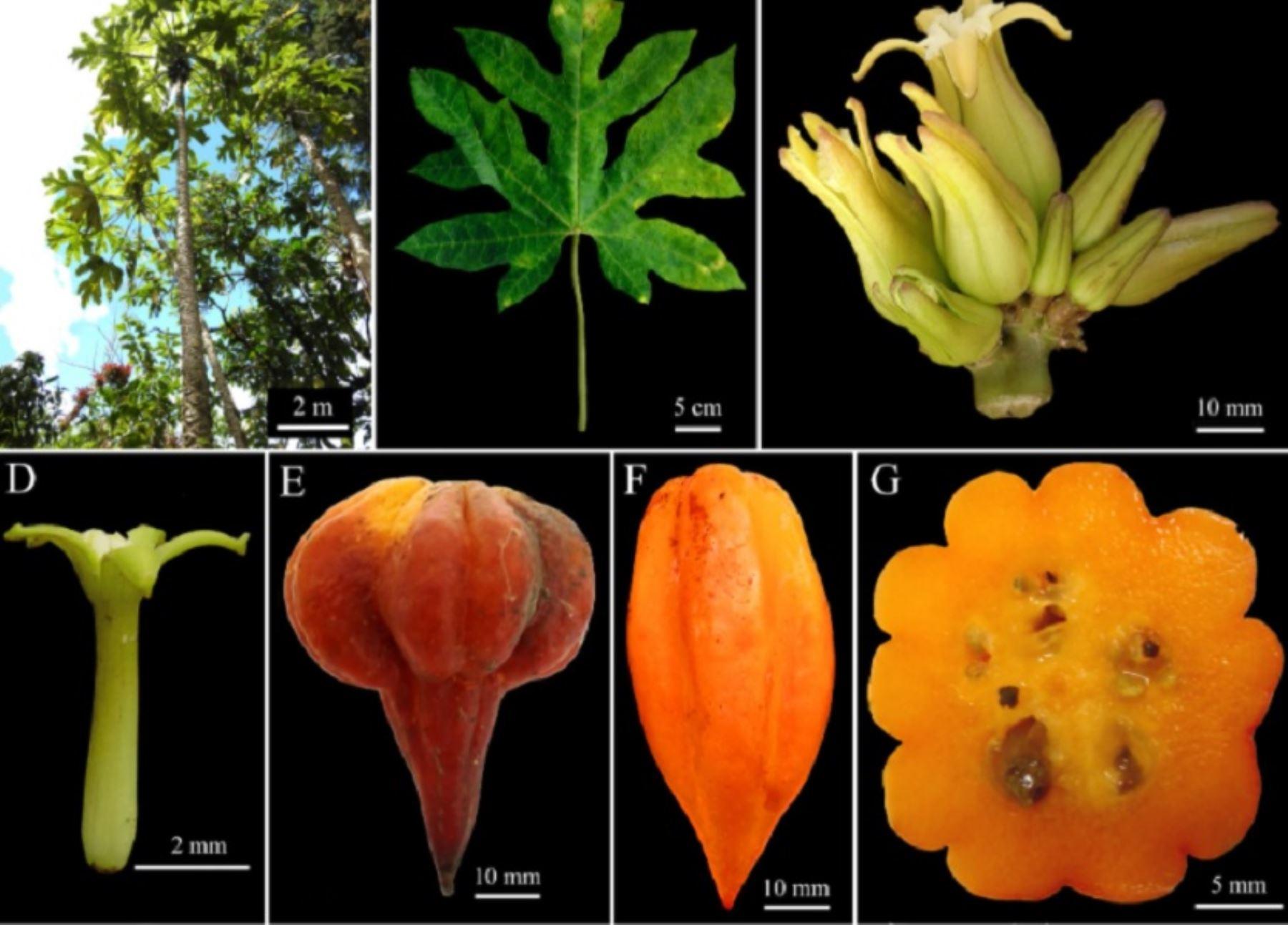 """Cinco nuevas especies de """"papaya andina"""" o """"papaya de altura"""", que crecen entre los 1,500 y 3,000 metros de altura en la sierra norte del Perú, han sido descubiertas por investigadores del Instituto de Investigación para el Desarrollo Sustentable de Ceja de Selva (INDES CES) de la Universidad Nacional Toribio Rodríguez de Mendoza (UNTRM) de Amazonas."""
