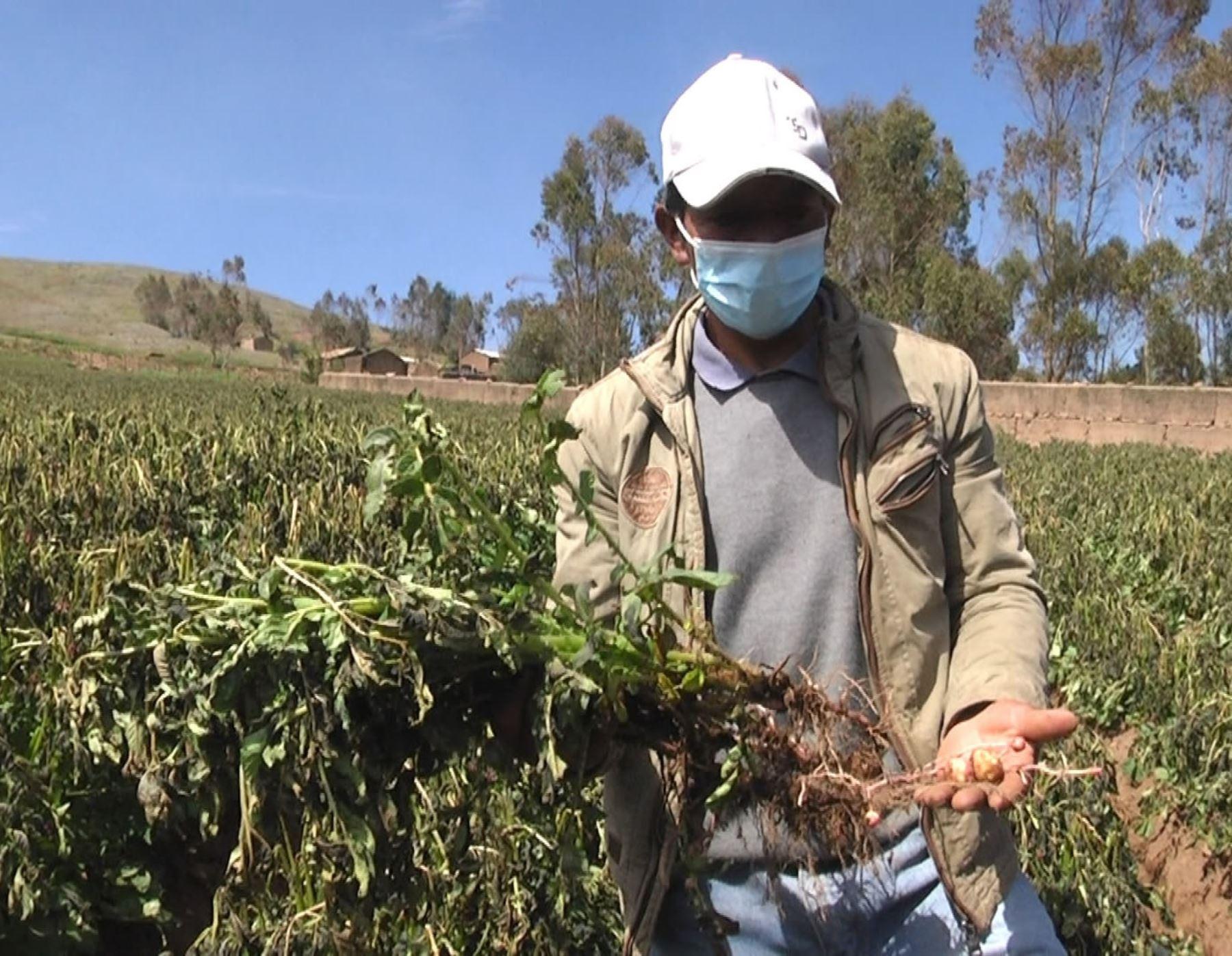 huancavelica-heladas-causan-danos-en-800-hectareas-de-cultivos-en-pazos