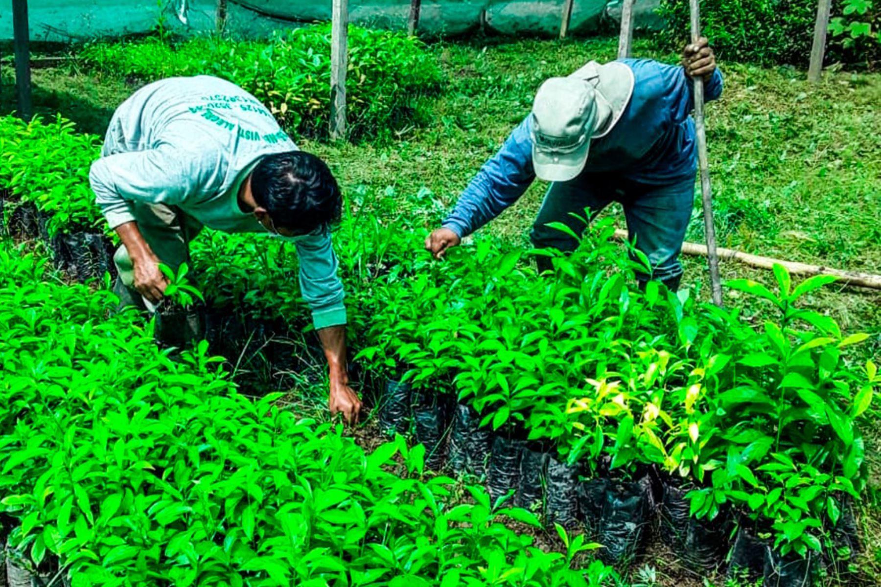 devida-y-municipio-emprende-proyecto-de-recuperacion-de-suelos-degradados-en-huanuco