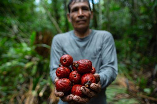 Uno de los exitosos bionegocios en el Abanico del Pastaza consiste en el aprovechamiento y manejo sostenible de los aguajales. Actualmente, hay 229.5 hectáreas bajo manejo en la provincia del Datem del Marañón de la región Loreto. Foto: Profonanpe