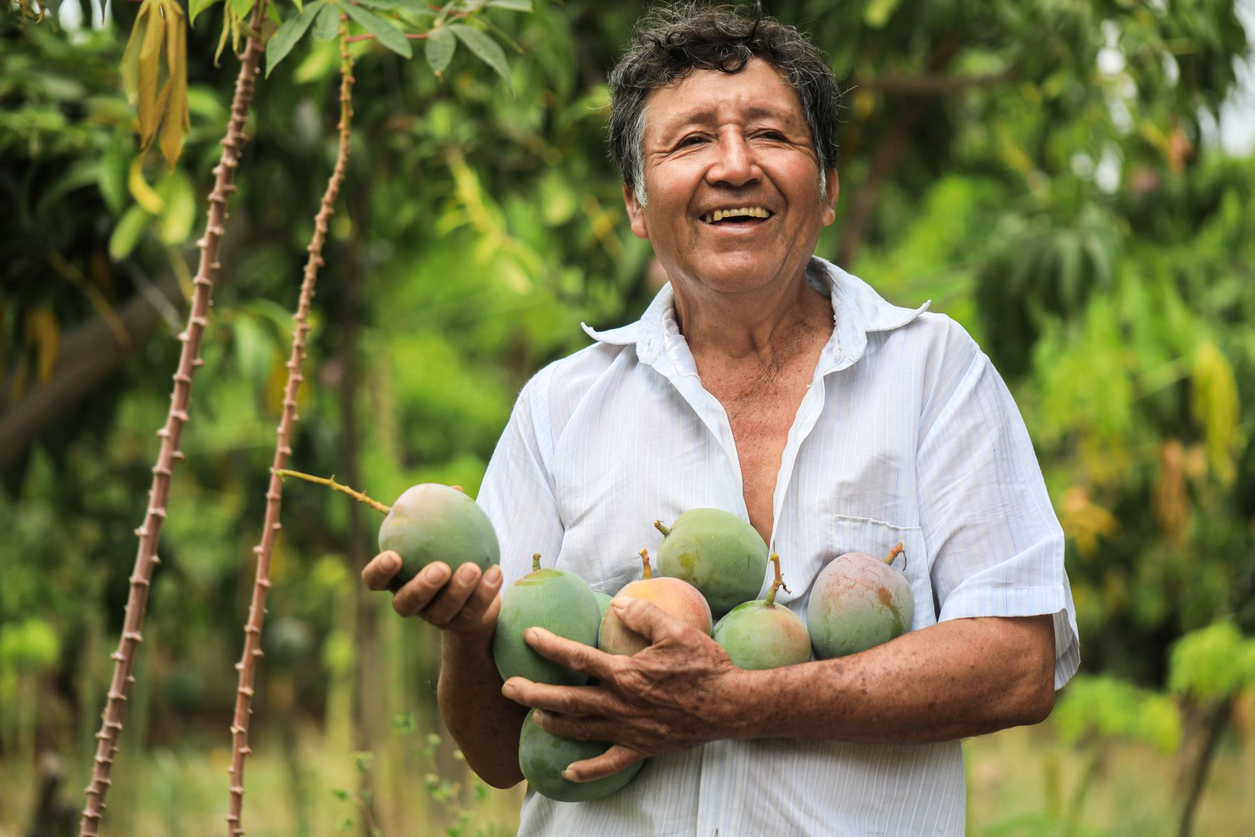 Productor de mango. Cortesía Midagri.