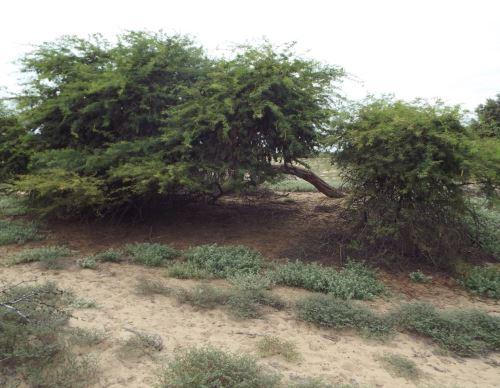 El Serfor desarrolla en Tumbes una investigación del emblemático árbol de algarrobo para ayudar a la conservación de esta especie. ANDINA/Difusión