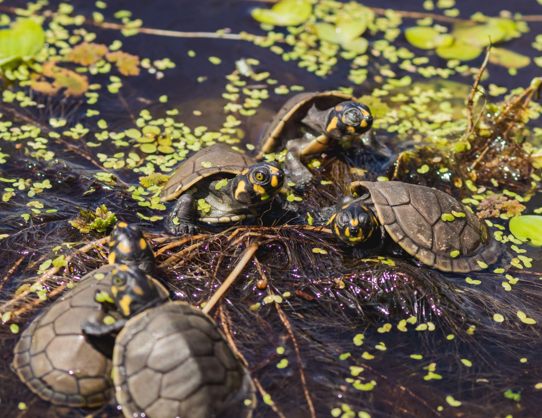 Sernanp lanza segunda etapa de campaña: Apadrina una taricaya, conserva Pacaya, que tiene como objetivo ayudar en la conservación de esta especie que vive en ríos de la Amazonía peruana.