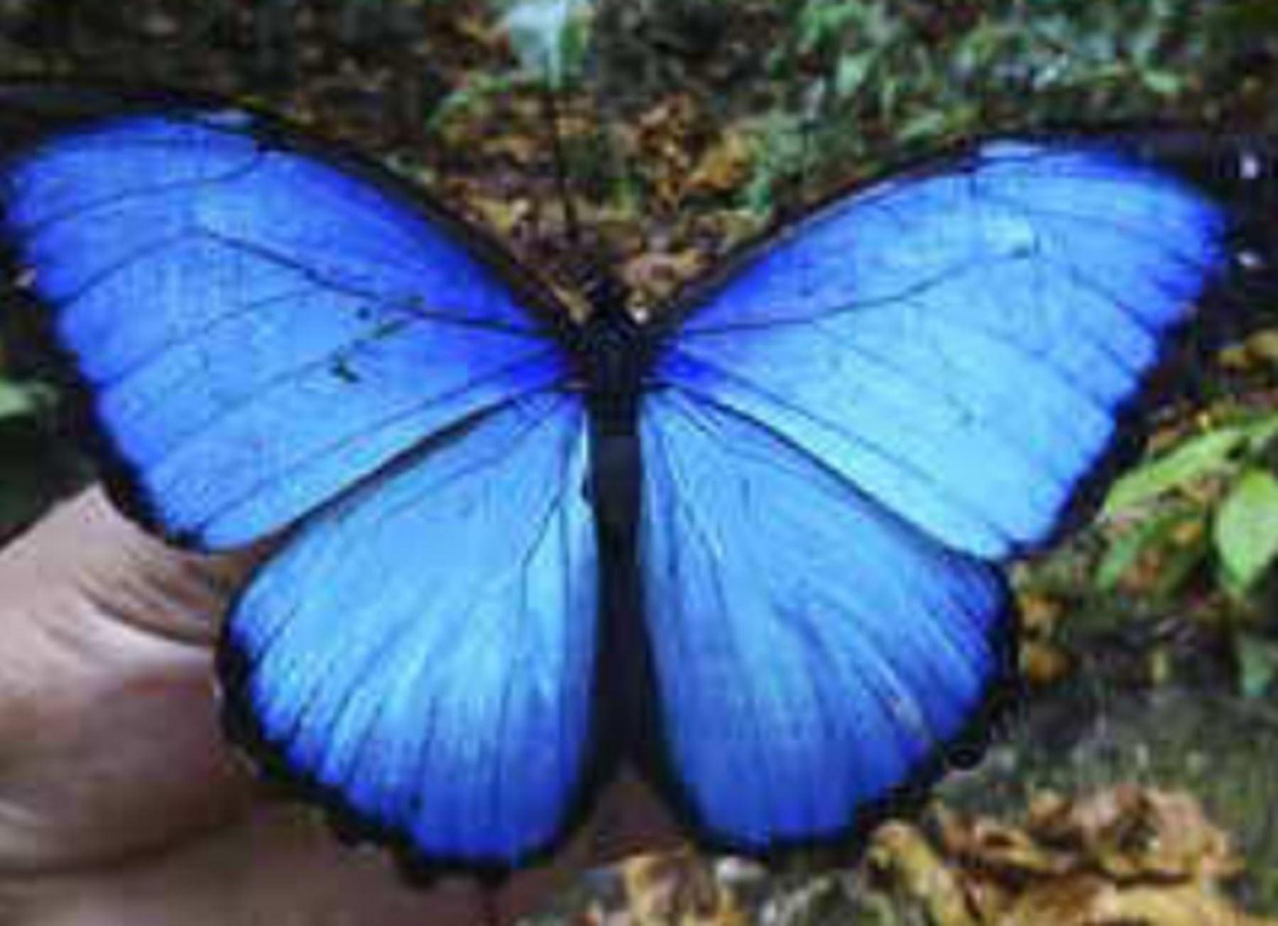 El Perú posee el mayor número de especies de mariposas en el planeta, con 4,200 ejemplares registrados hasta la actualidad. Muchas de ellas son exclusivas de la Amazonía y constituyen un recurso importante para desarrollar bionegocios sostenibles en beneficio de las poblaciones rurales.Foto: IIAP
