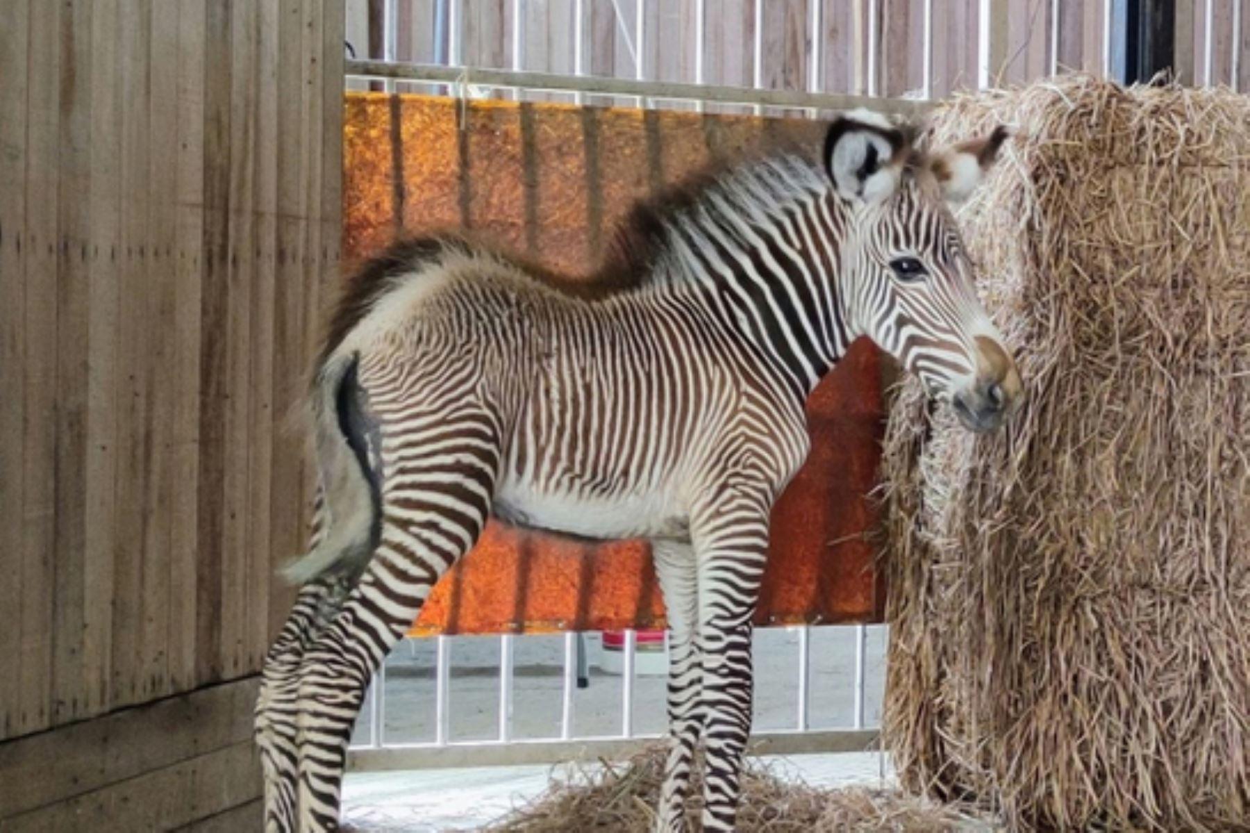 Grevy es de color marrón con rayas blancas, que cambiarán a medida que llegue a la adultez. Esta especie es nativa del continente africano. Foto: ANDINA/Parque de Las Leyendas